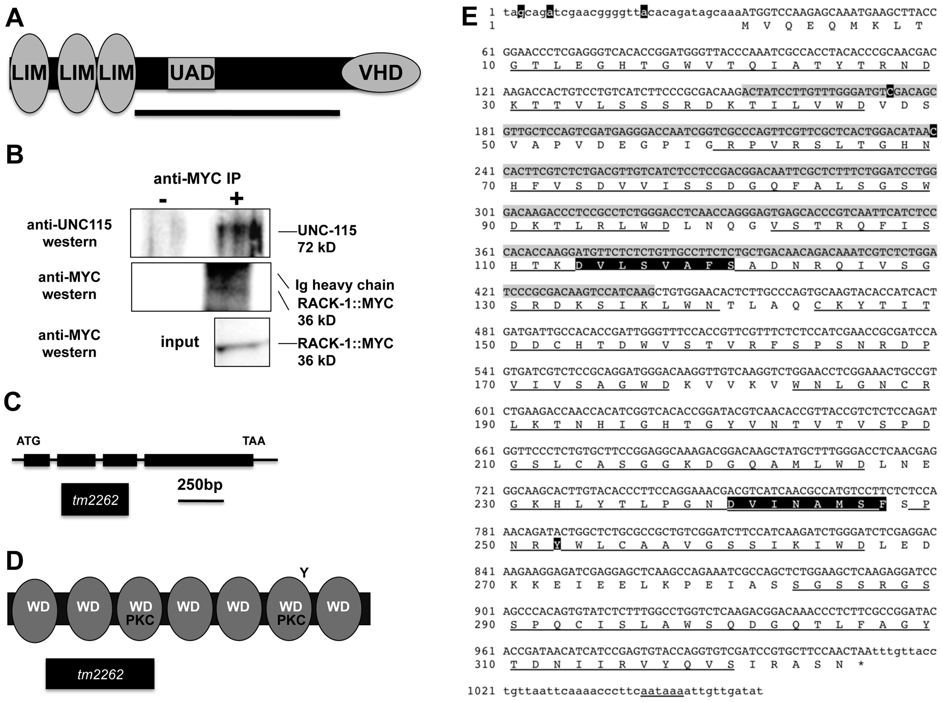 RACK-1 and UNC-115 interact by two-hybrid and co-immunoprecipitation.