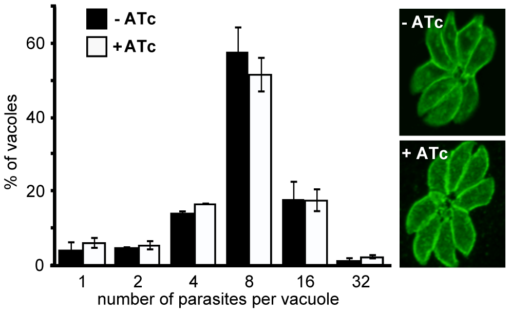 RNG2 is not required for intracellular parasite replication.