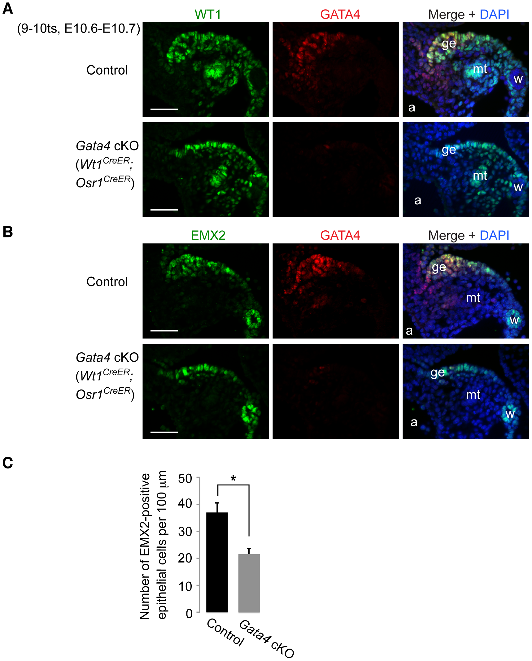 <i>Gata4</i> is not required for expression of WT1 and EMX2 in genital ridge epithelium.