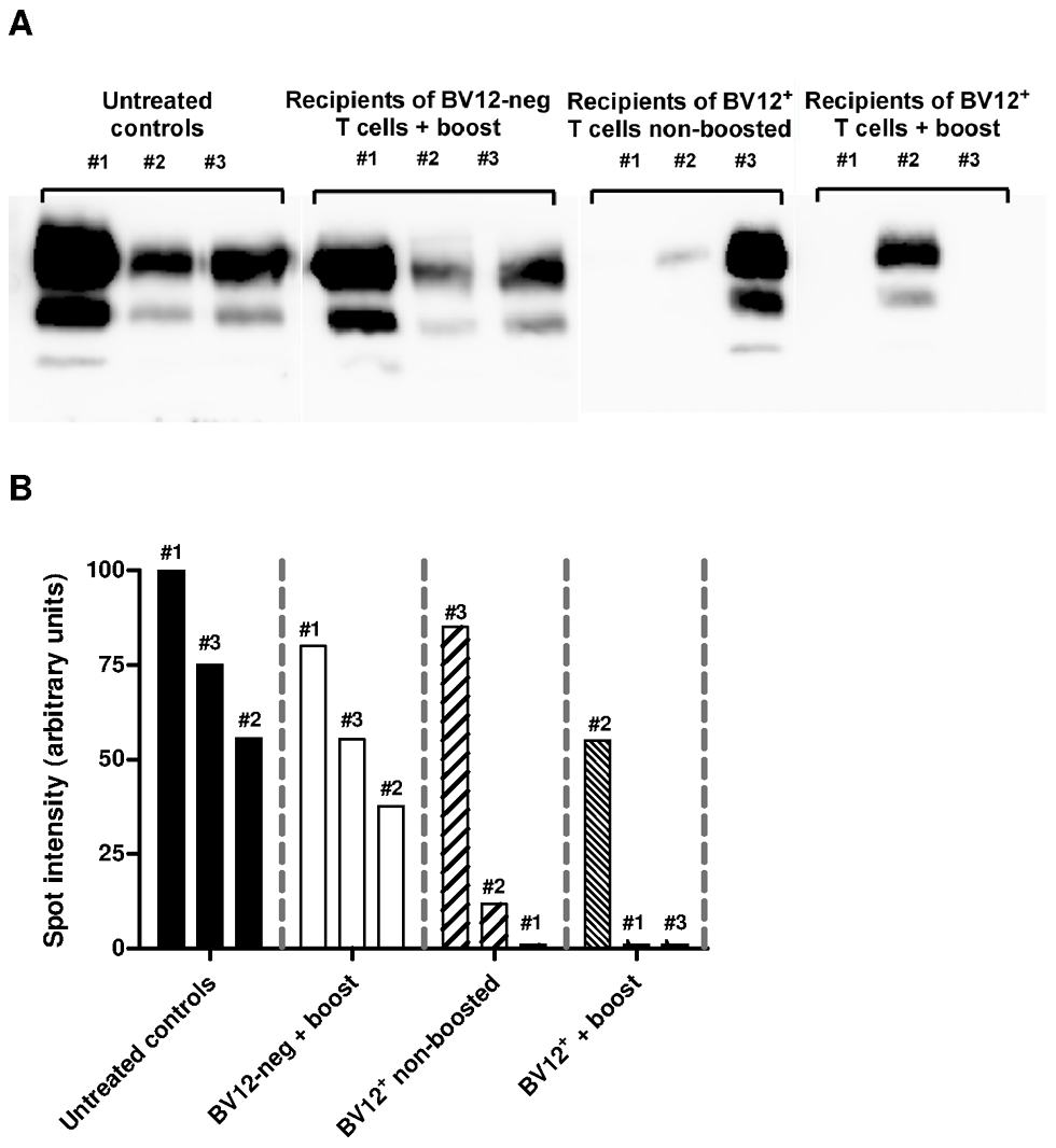Anti-PrP T cells prevent the accumulation of PK-resistant PrP in secondary lymphoid organs.