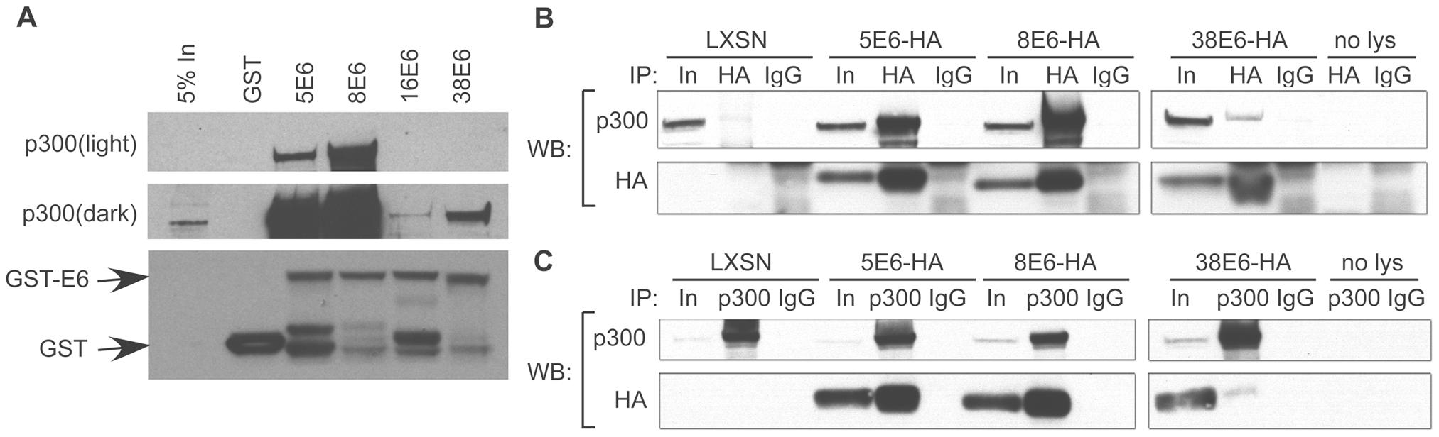 E6 from α and β HPVs bind p300 with different strengths.