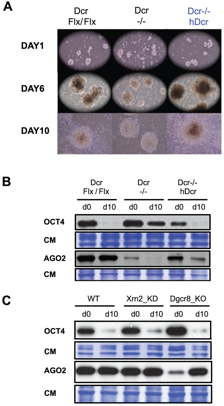 h<i>Dcr-c</i>omplemented <i>Dcr</i><sup>−/−</sup> ESCs differentiate normally despite accumulating 5–7% total miRNAs compared to WT.