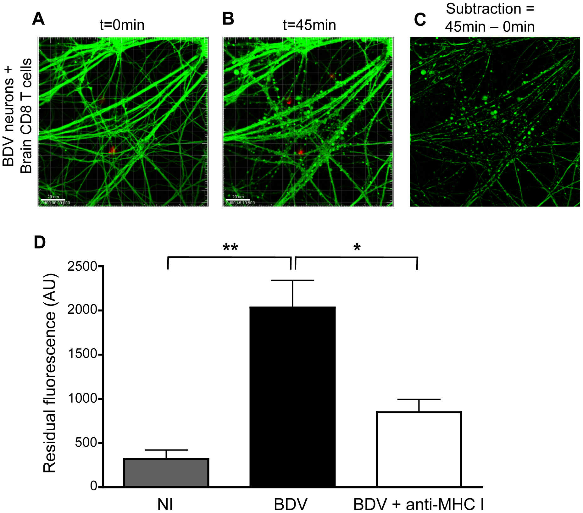Interaction with brain-purified CD8 T cells induces early morphological changes of BDV-infected neurons.