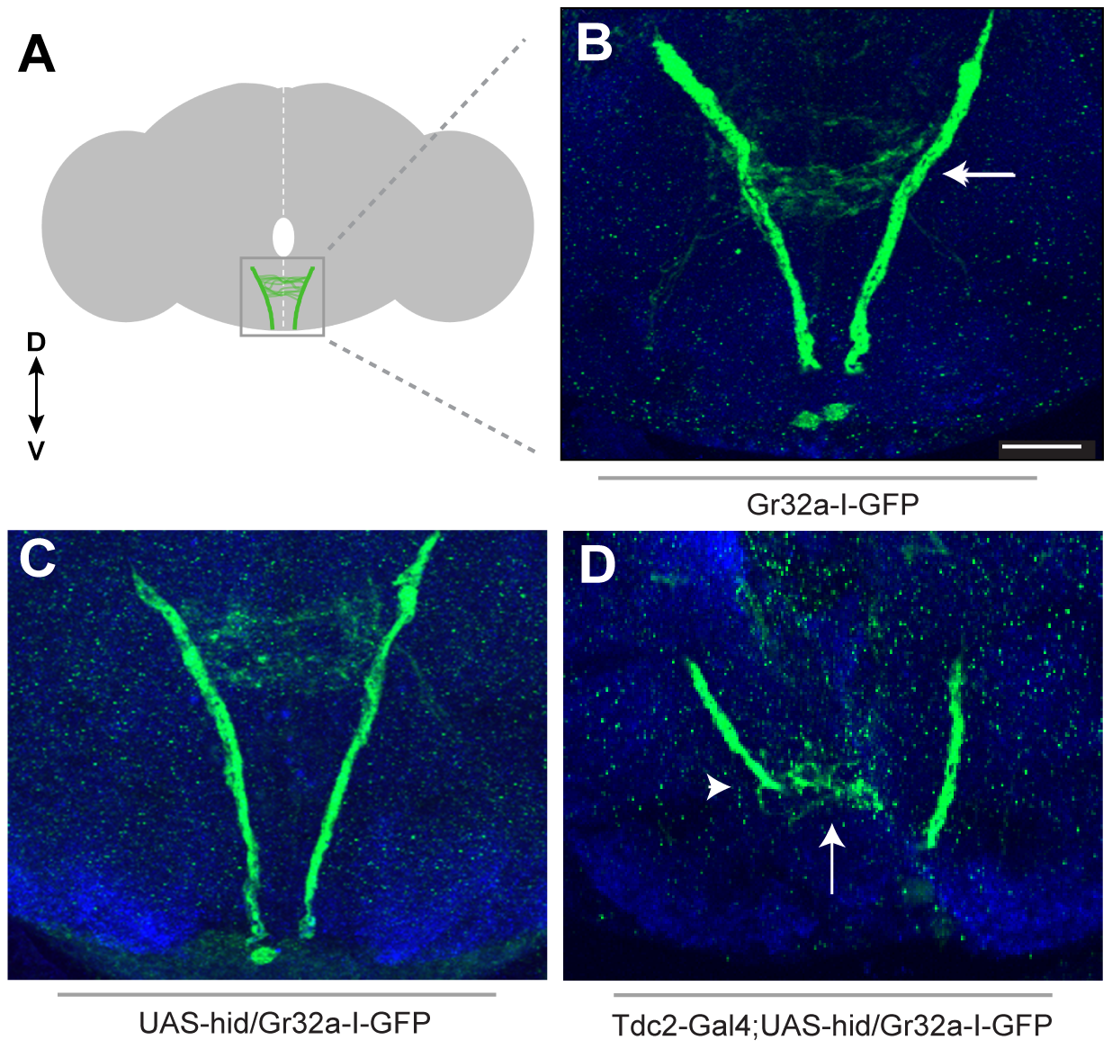 Removing OA neurons significantly alters Gr32a axonal projections.