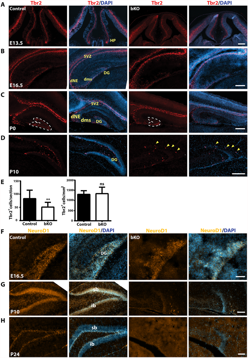 Defective Tbr2<sup>+</sup> and NeuroD1<sup>+</sup> neuronal precursors in the mutant hippocampus.