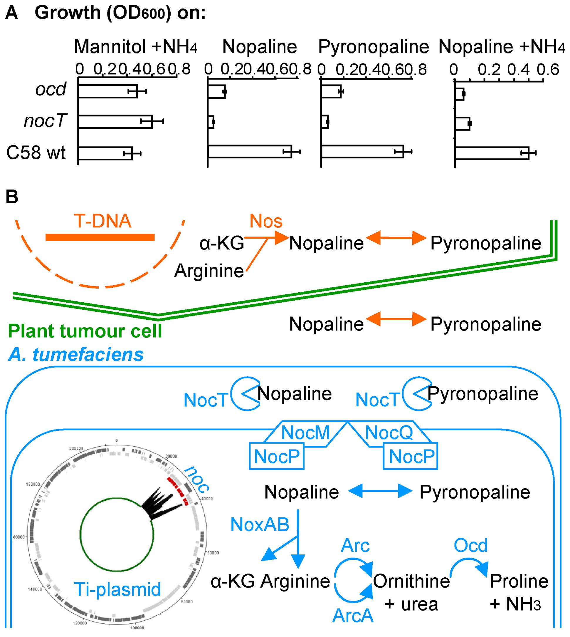 The nopaline/pyronopaline regulon in <i>A. tumefaciens</i> C58.