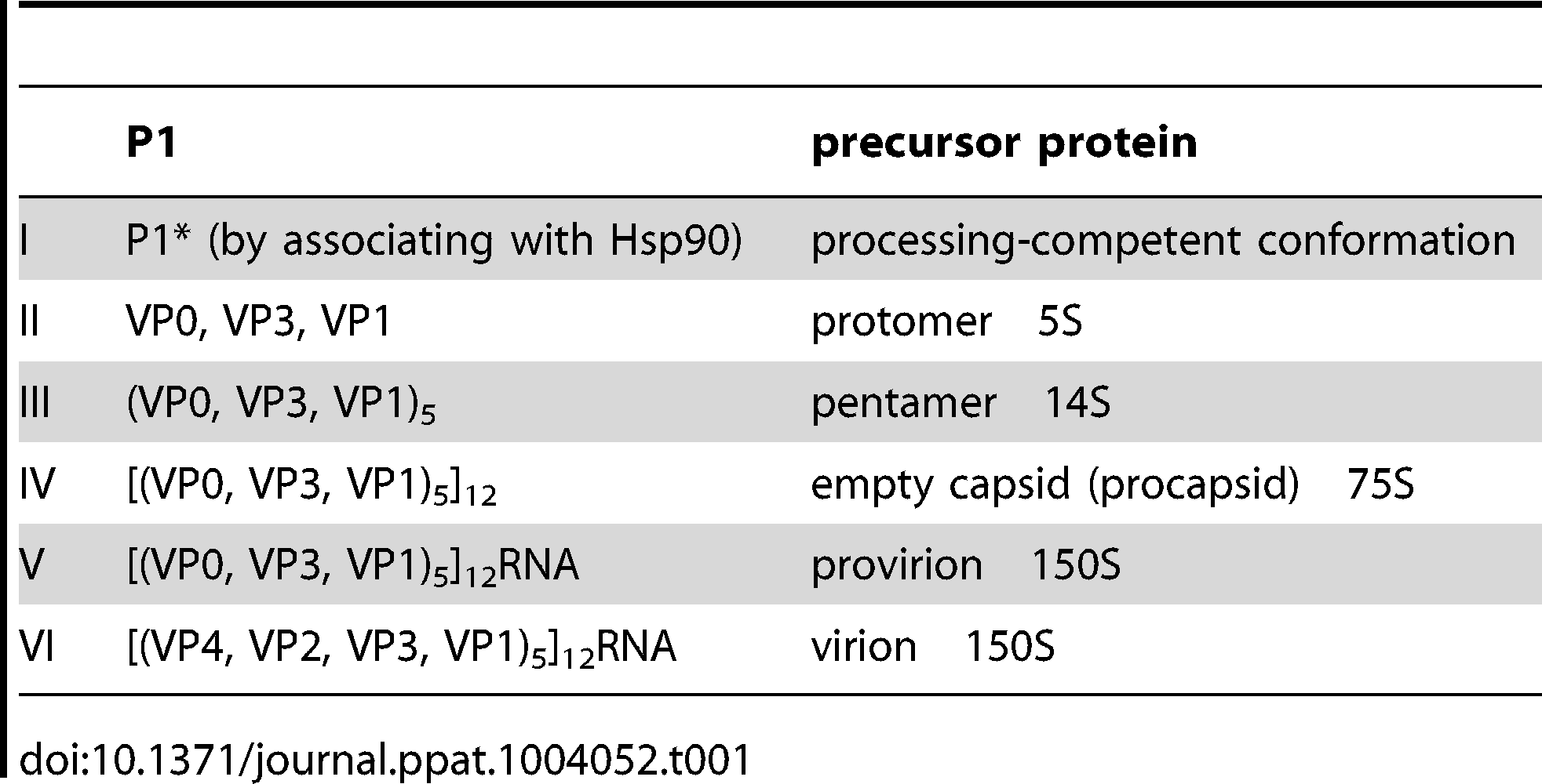 Stepwise processing of the P1 capsid protein and maturation of the PV particle.