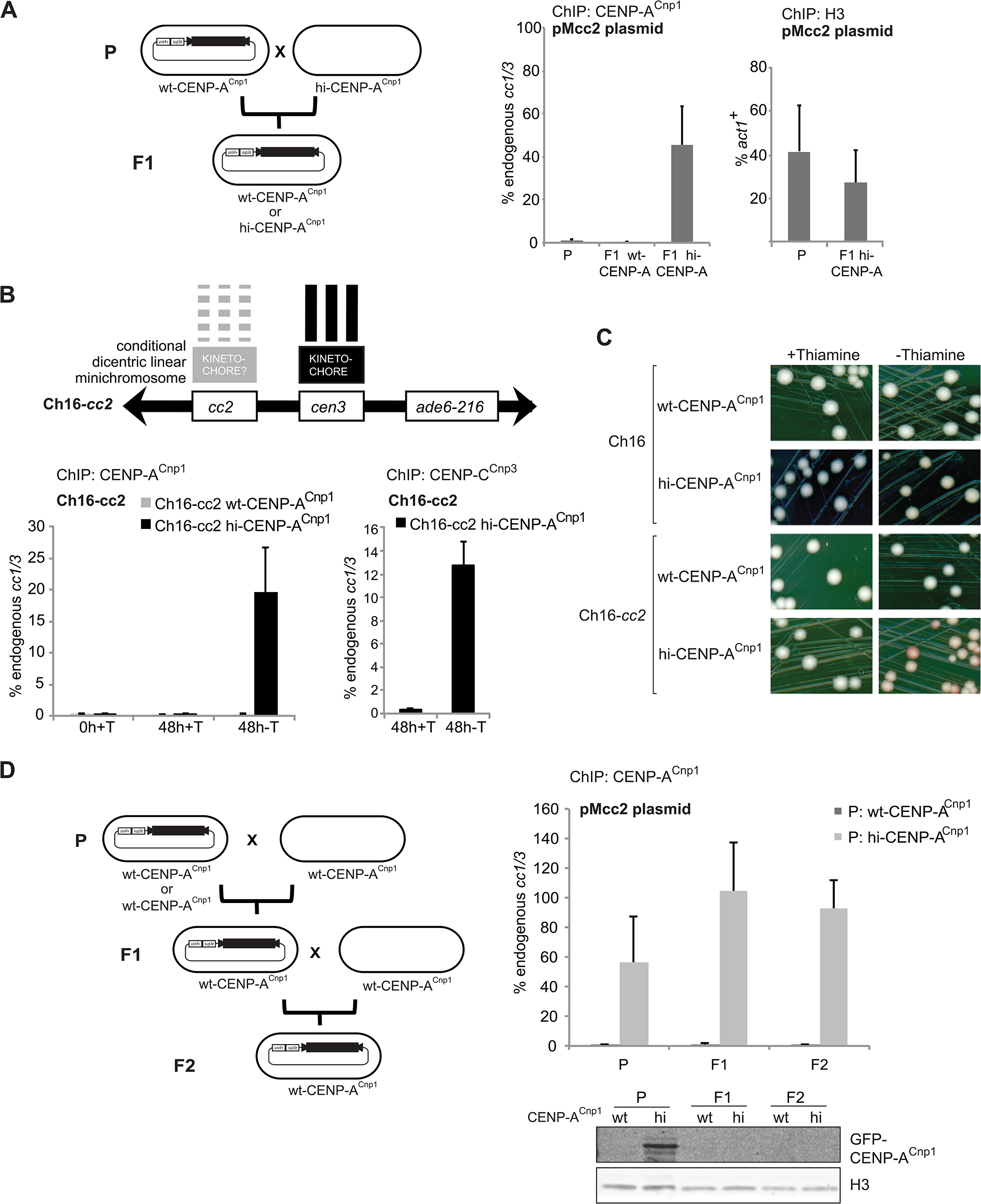 CENP-A<sup>Cnp1</sup> chromatin behaves as an epigenetic mark.