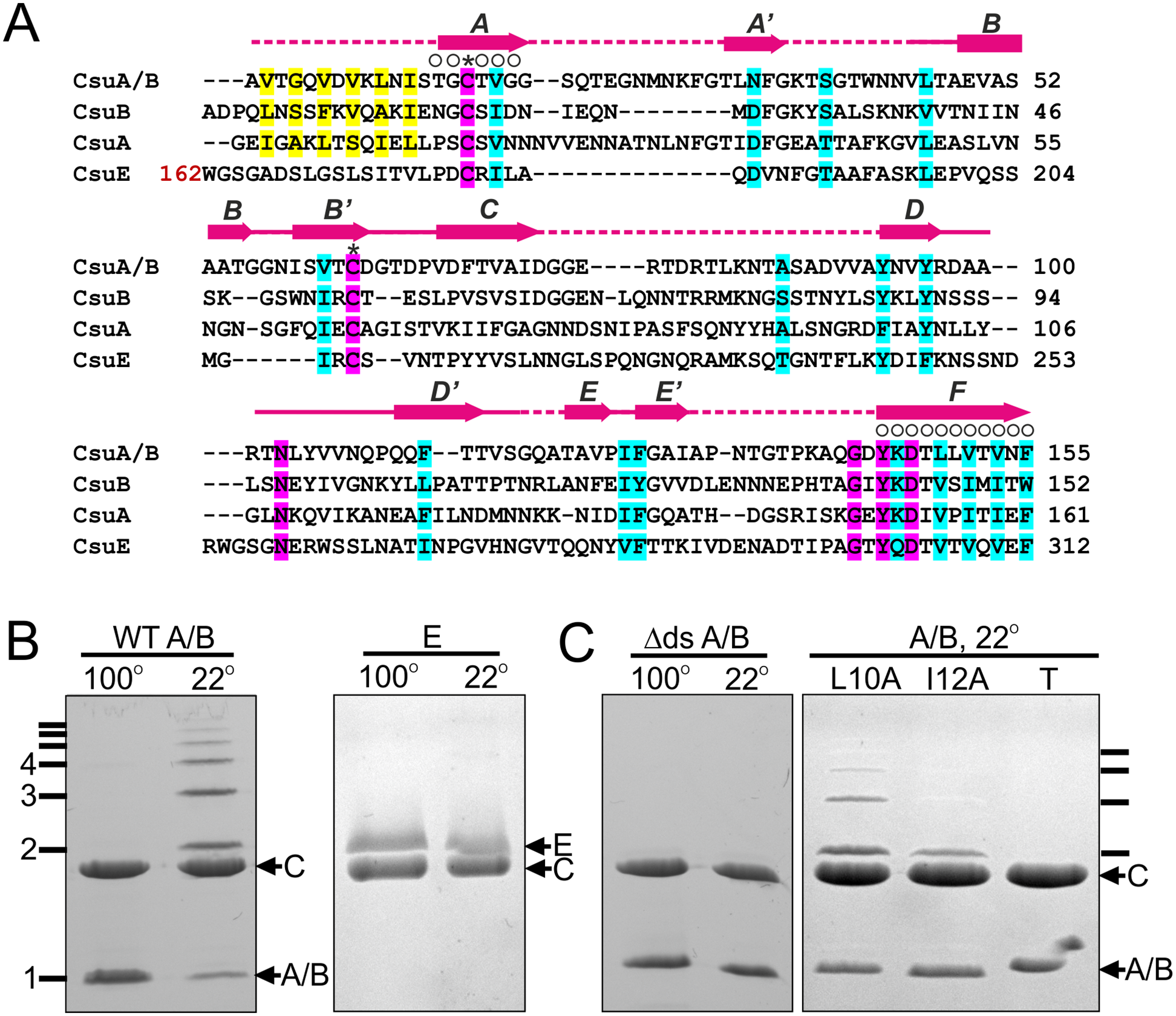 CsuA/B self-assembly depends on its N-terminal donor strand sequence.