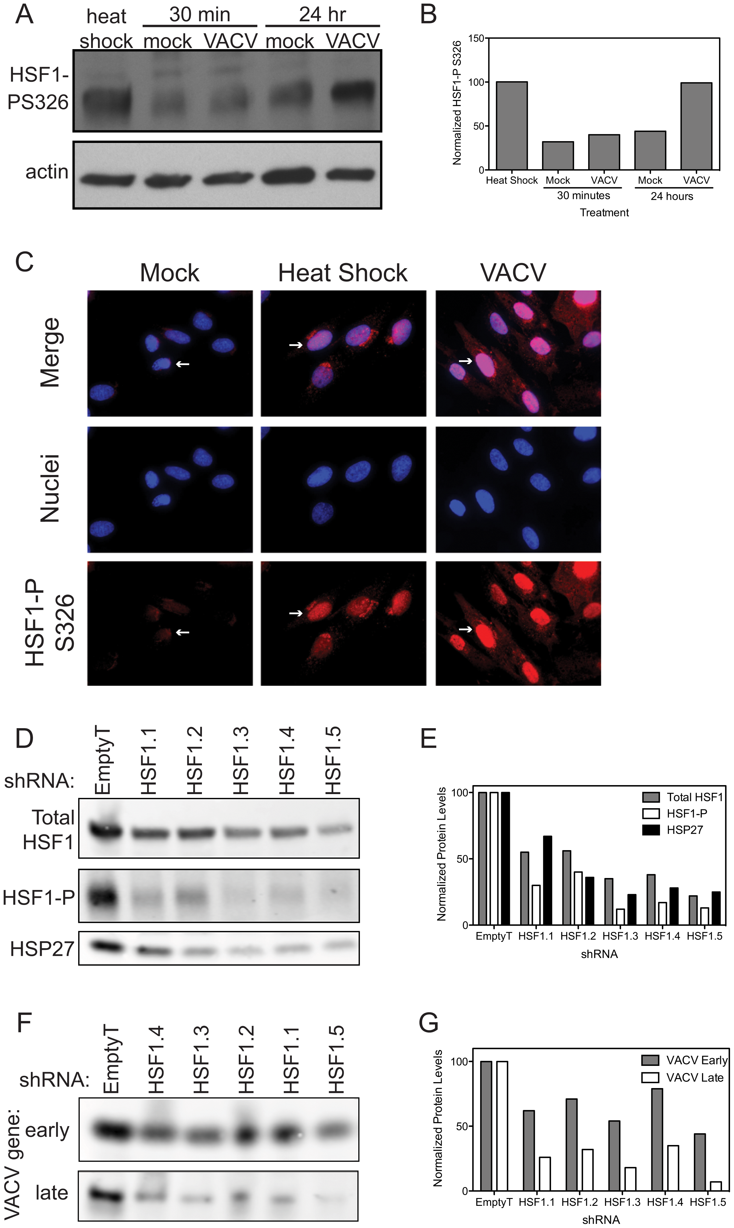 HSF1 is activated during VACV infection.