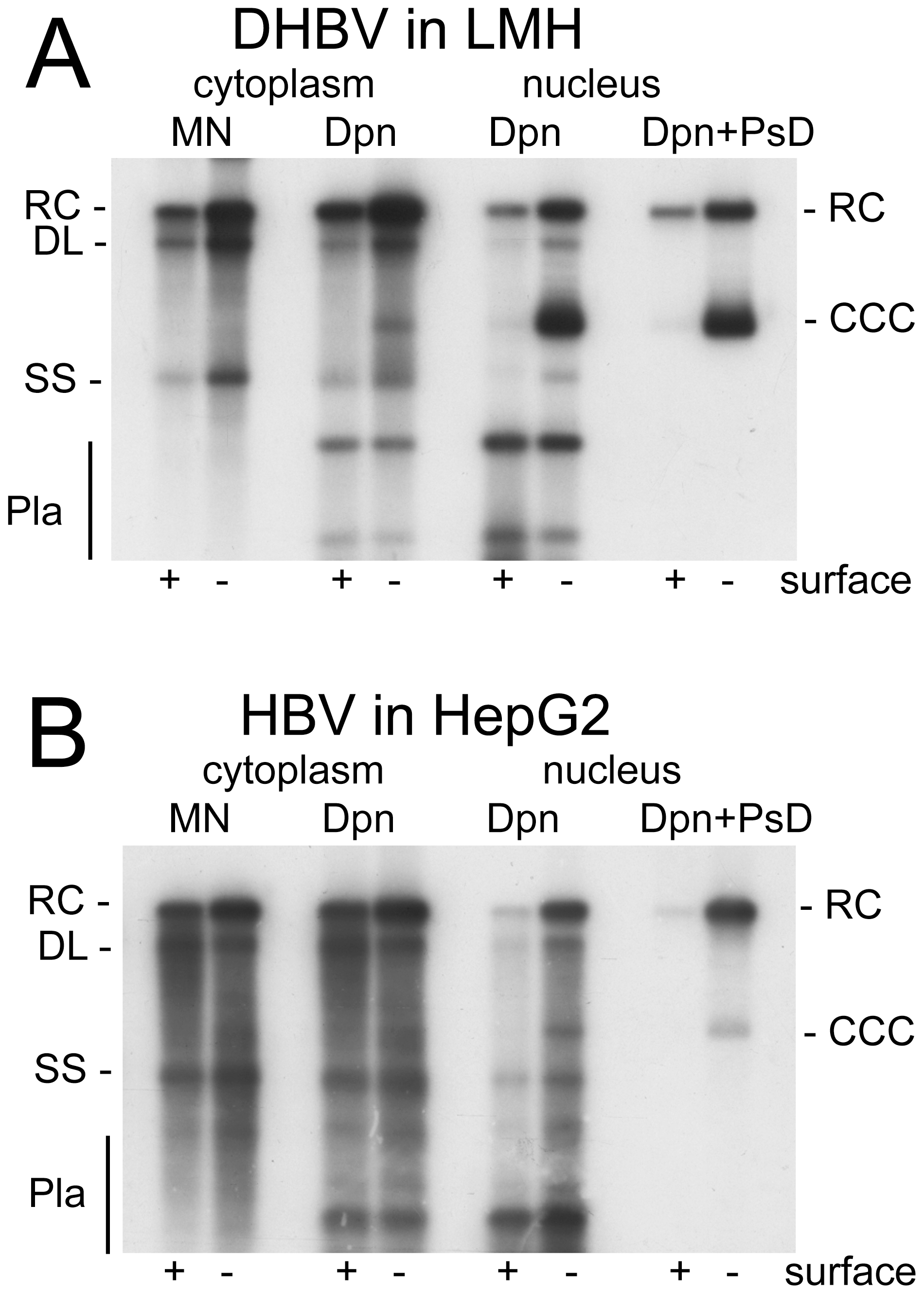 DHBV replication in avian cells and HBV replication in human cells.