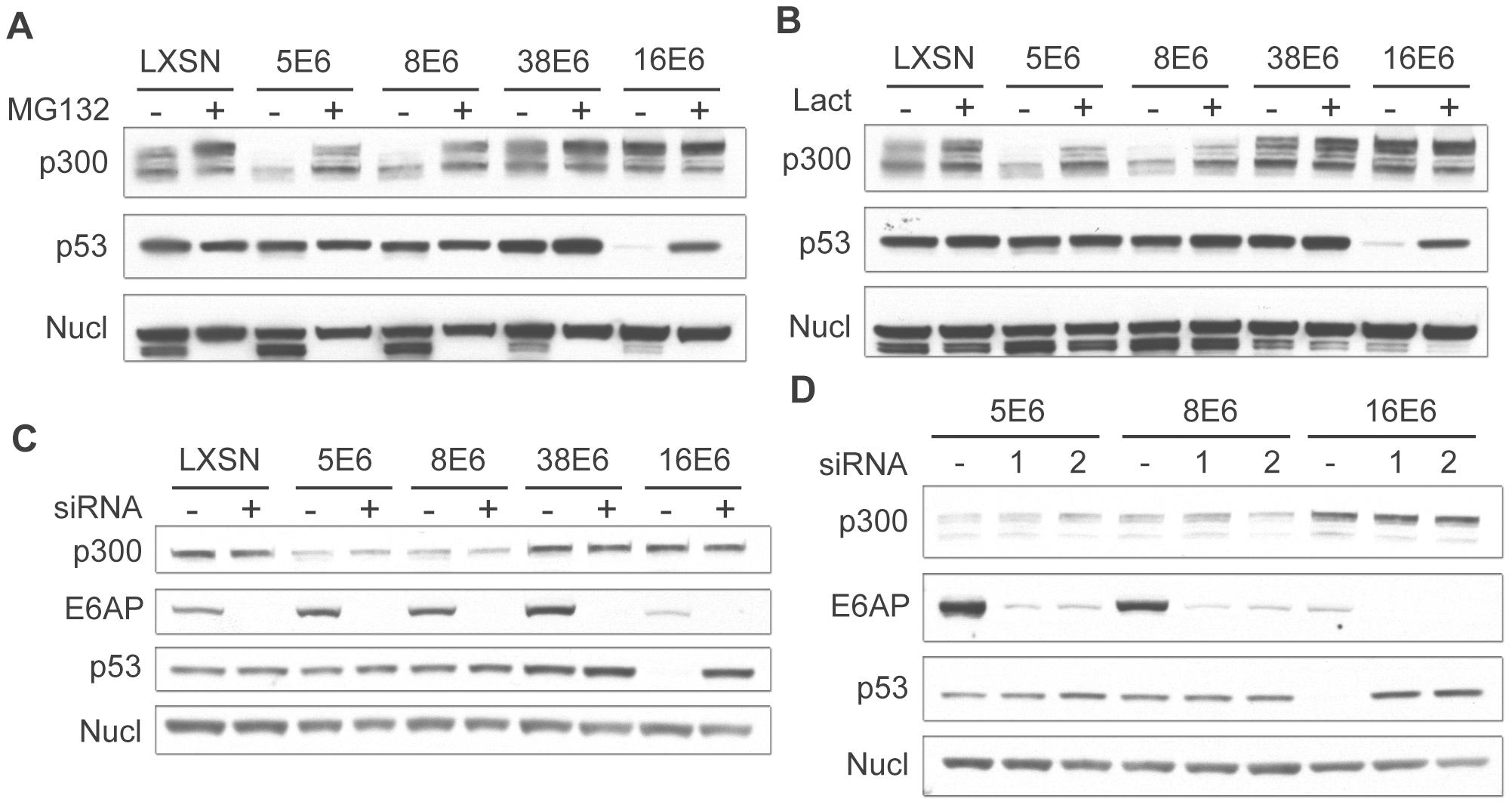 β HPV 5 and 8E6 degrade p300 in a proteasomal-dependent, E6AP-independent manner.