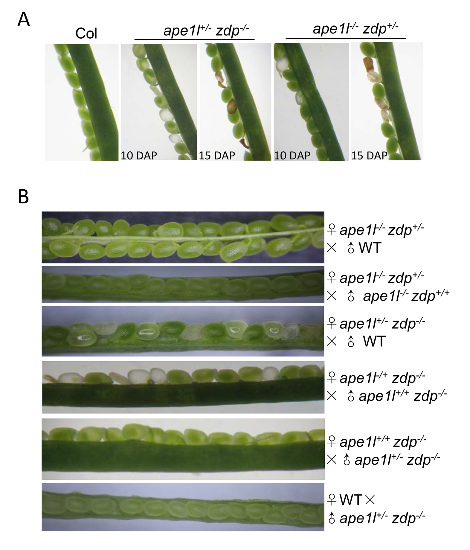 Effects of <i>ape1l</i> and <i>zdp</i> double mutations on seed development.