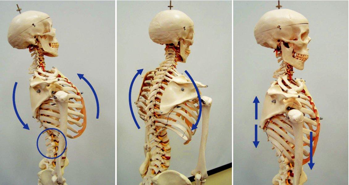 a,b,c. Za patologické situace je u pacienta souhyb mezi hrudní pateří a hrudníkem. Je nedostatečný pohyb v kostovertebrálních skloubeních. Pohyb hrudníku je spojen s pohybem páteře. Při snaze o napřímení hrudní páteře dochází ke kraniálnímu zvednutí hrudního koše jako celku. Napřímení se děje v oblasti TH/L přechodu (a, b). Za fyziologické situace dochází k segmentálnímu napřímení hrudní páteře bez kraniálního souhybu hrudního koše. K tomu je třeba mobilizovat pohyb v kostovertebrálních skloubeních. Uvolnění pohybu hrudníku je základním předpokladem fyziologické stabilizace (c).