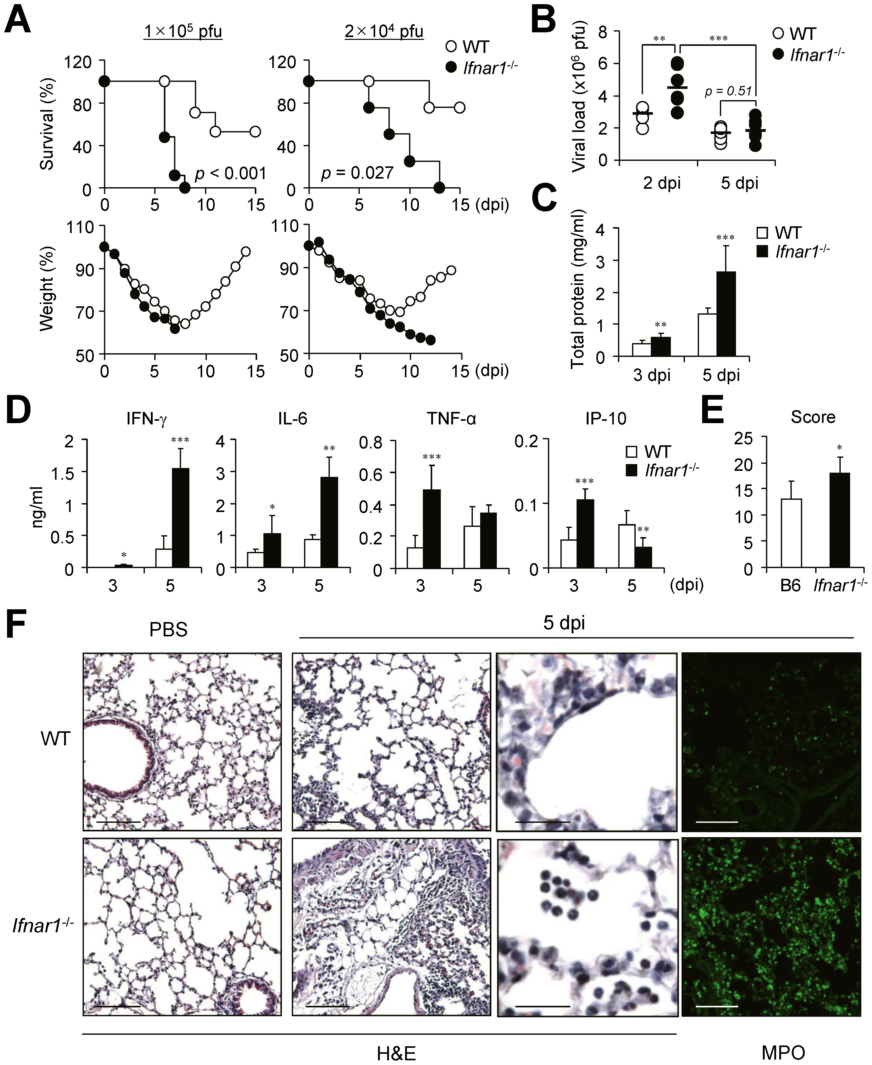 <i>Ifnar1</i><sup>−/−</sup> mice are more susceptible to influenza infection than wild-type (WT) mice.
