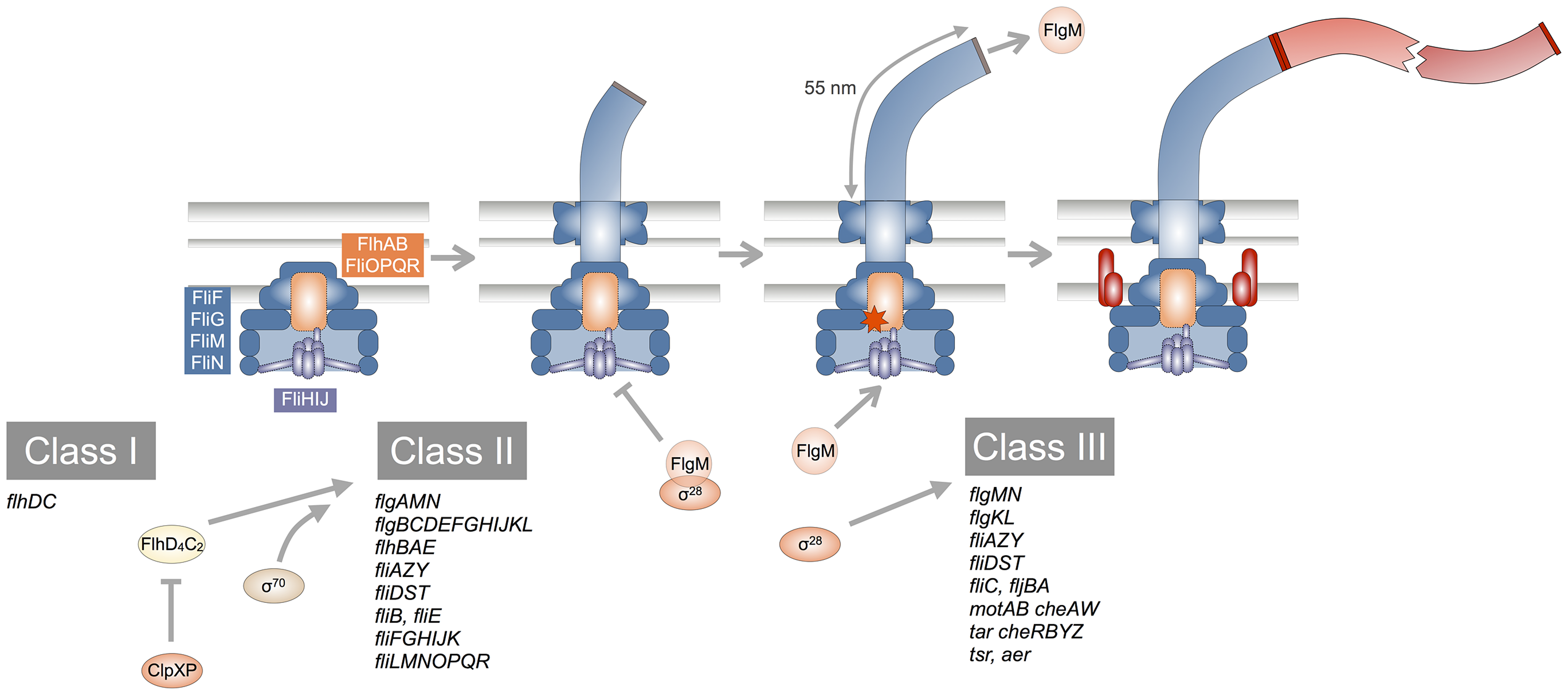 Schematic overview of the flagellar transcriptional hierarchy and biogenesis.