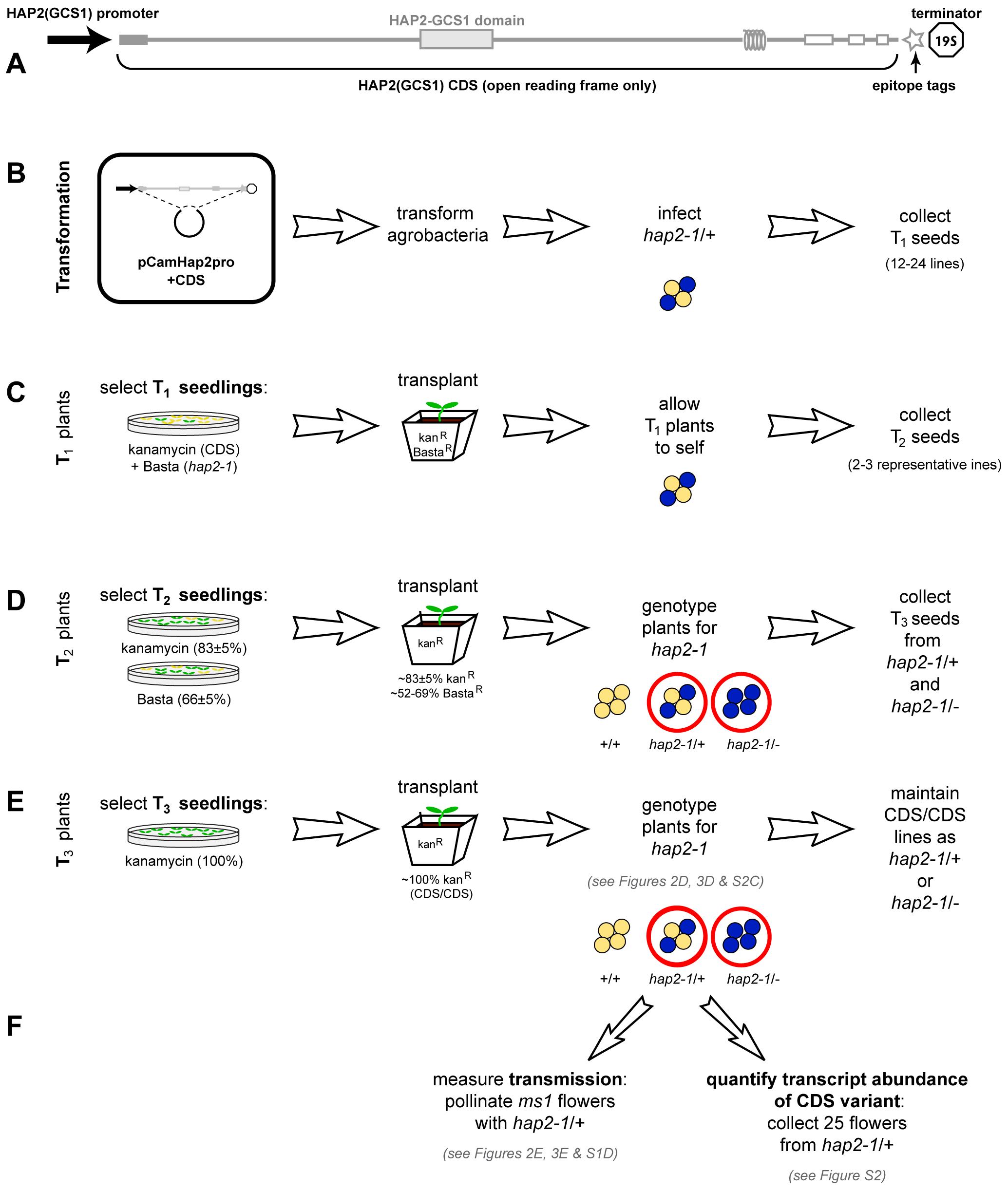 Protocol for analyzing complementation of <i>hap2-1</i> fertilization defects using <i>HAP2(GCS1)</i> CDS variants.