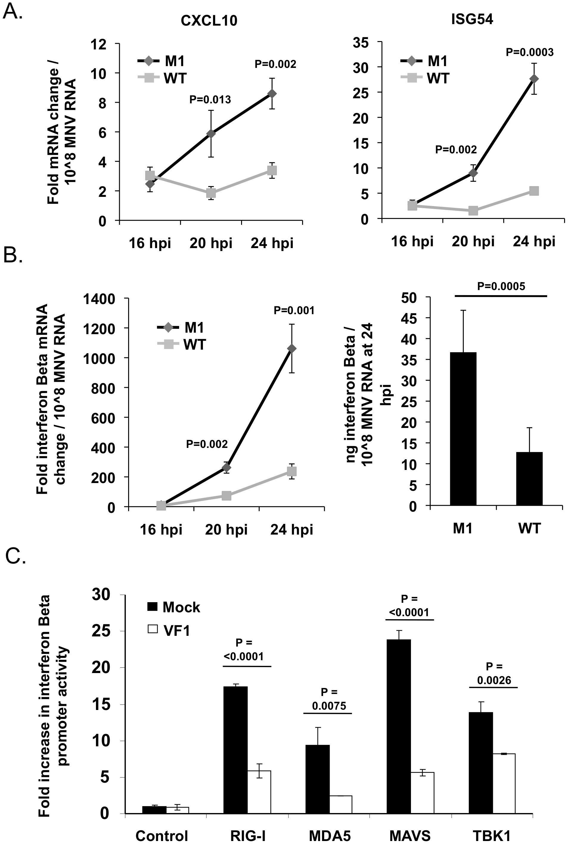 VF1 antagonizes the innate immune response to MNV infection.