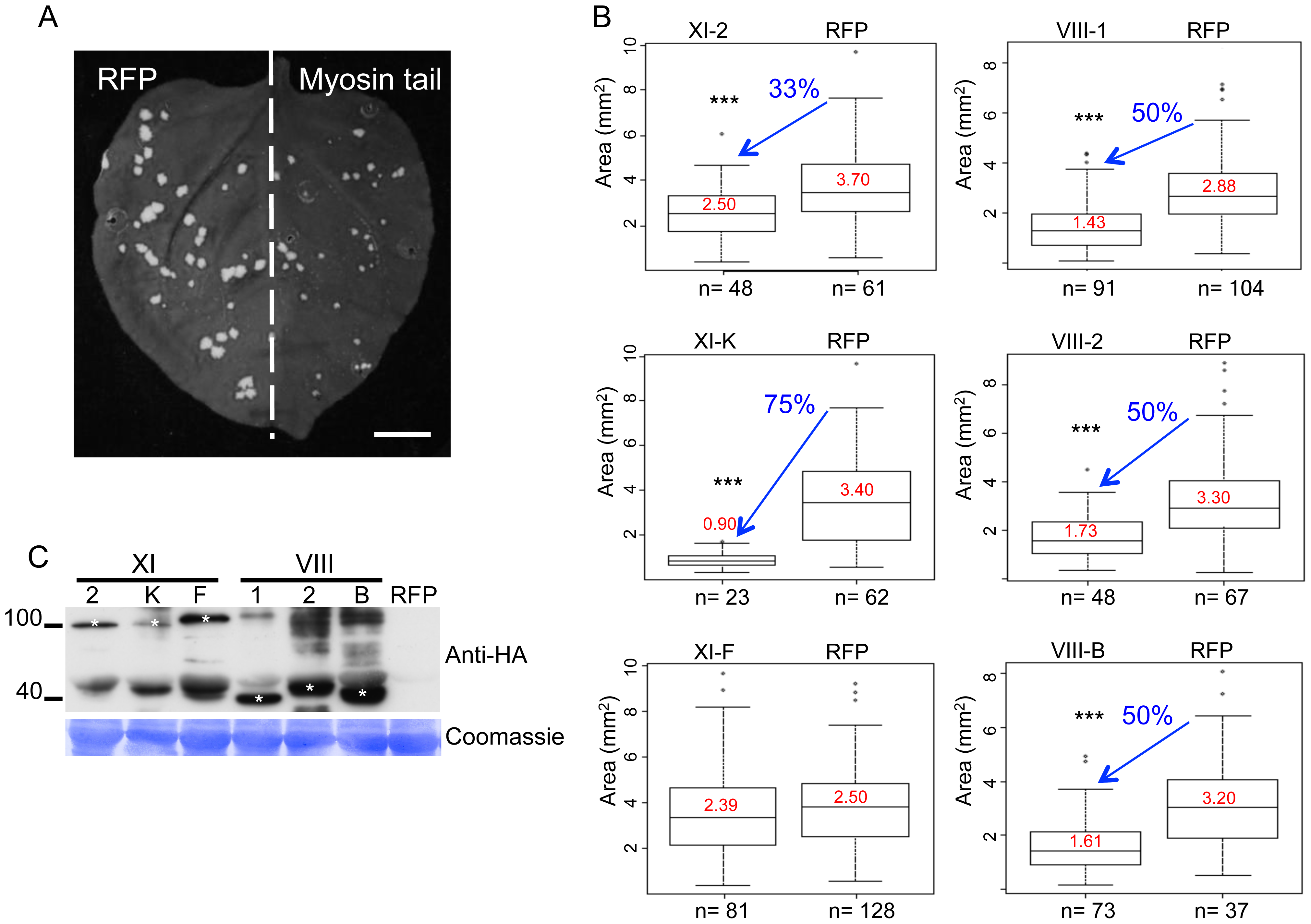 Dominant negative repression of specific myosins inhibits TMV-GFP cell-to-cell spread.