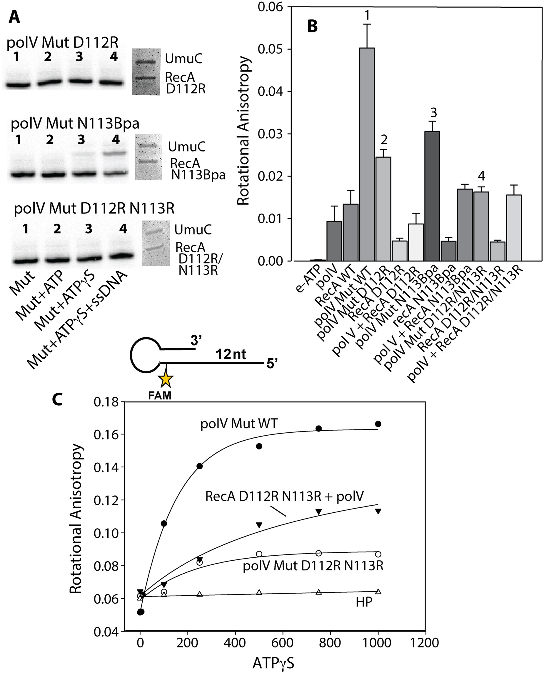 Defining the step in the pol V activation pathway that is affected by RecA D112R N113R.