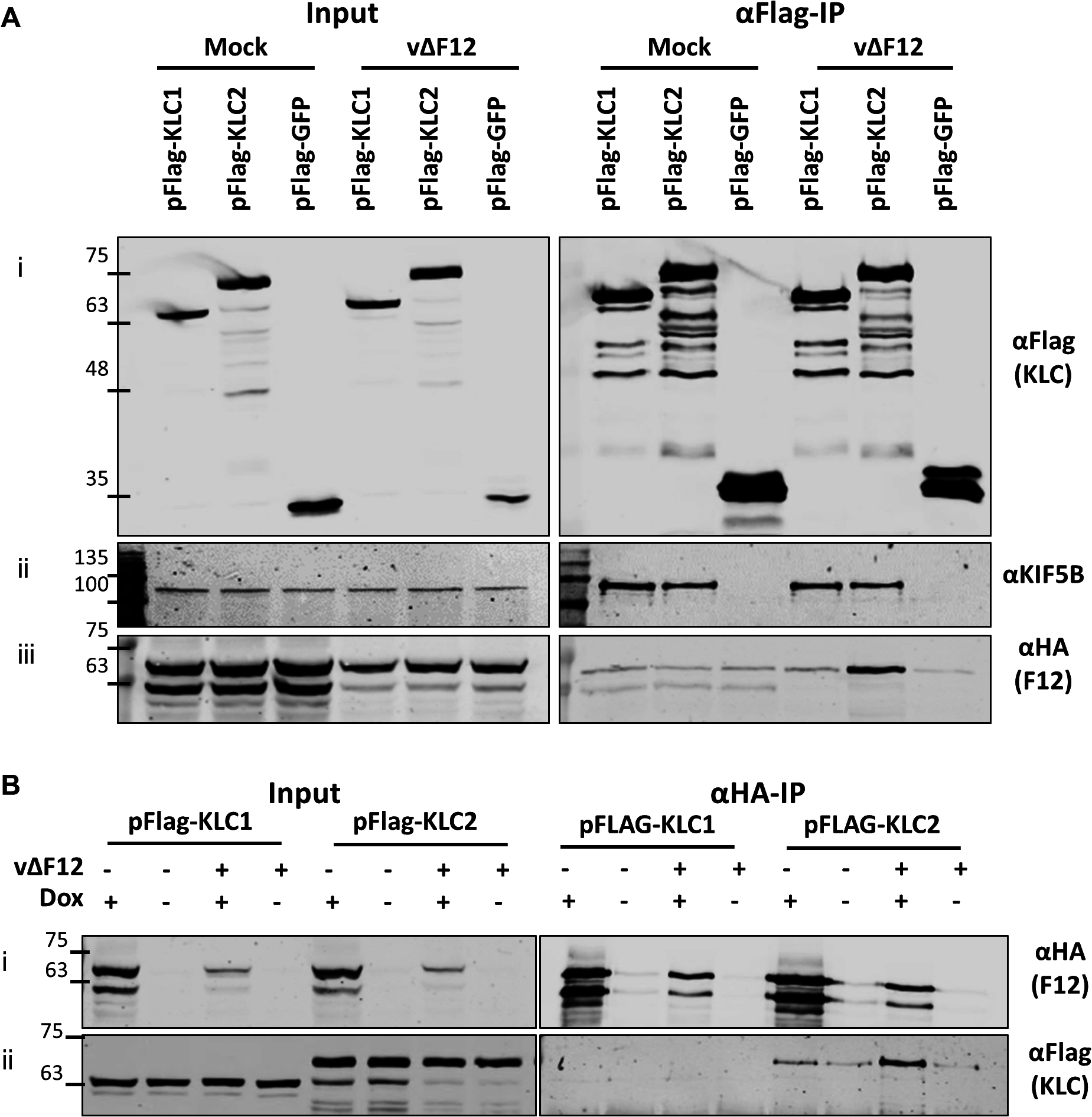 The F12/KLC2 interaction requires virus infection.