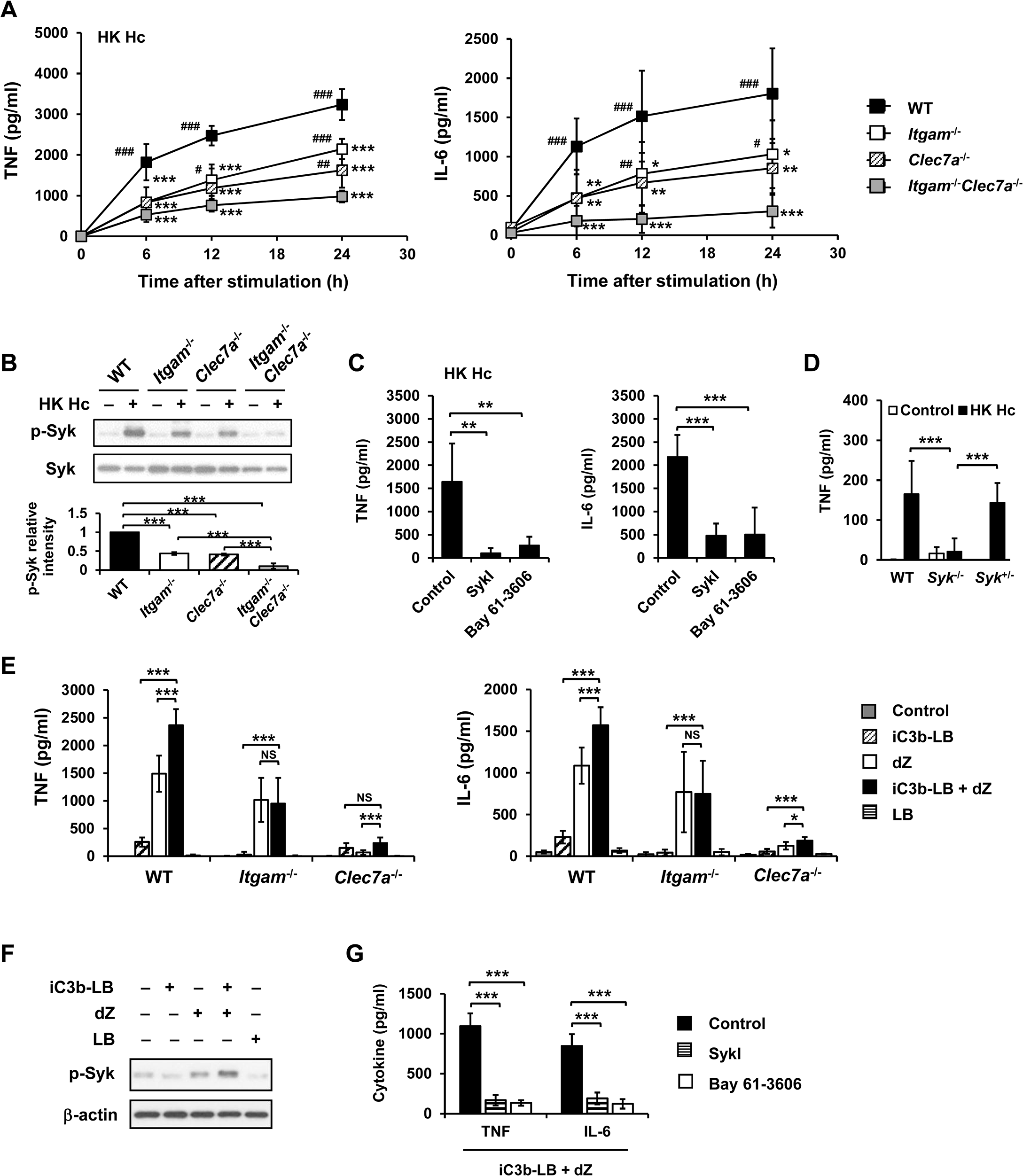 CR3 and Dectin-1 collaborate to intensify Syk activation and subsequent cytokine response in macrophage.
