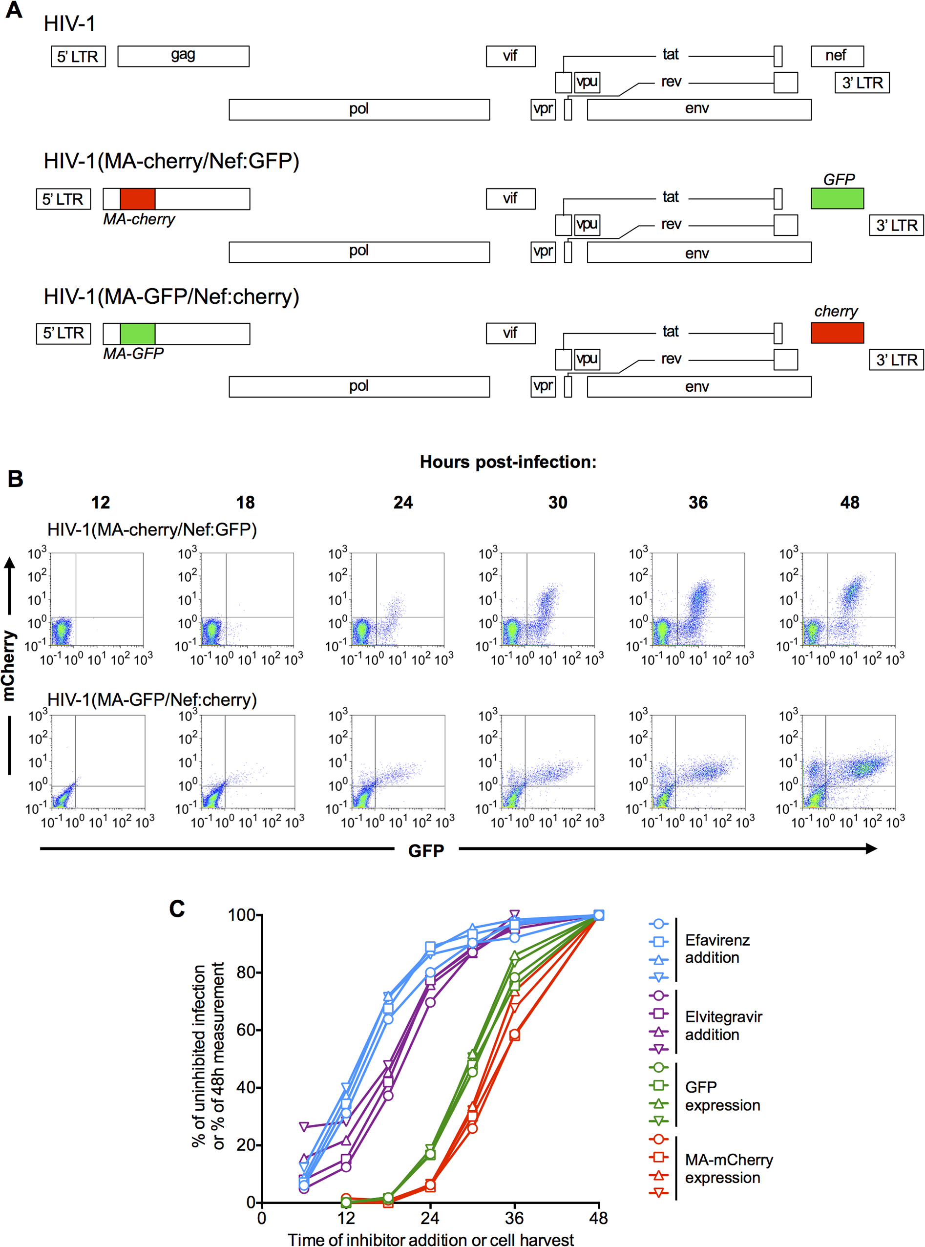 Dynamics of HIV-1 replication measured using dual reporter viruses.