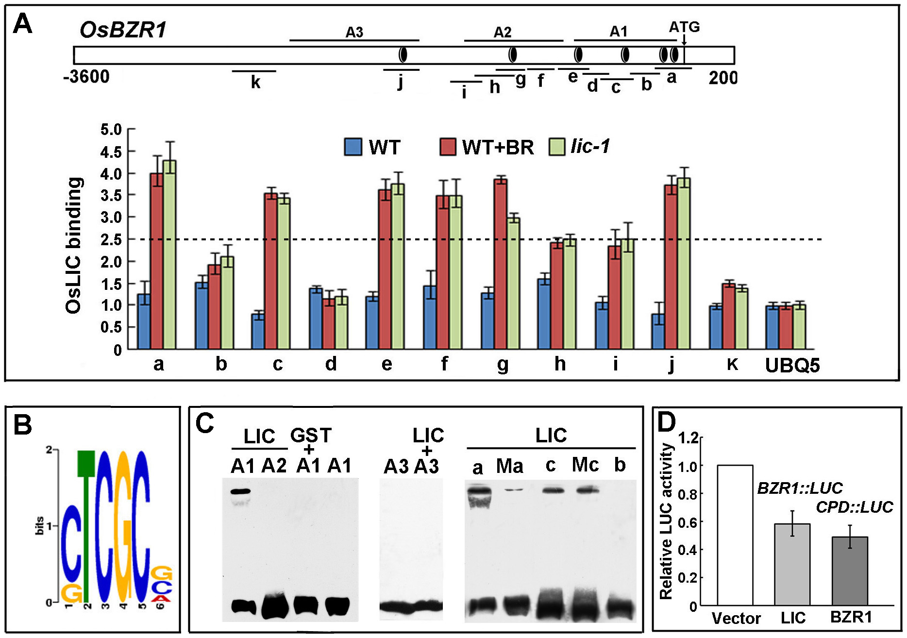 LIC binds to <i>BZR1</i> and represses its transcriptional expression.
