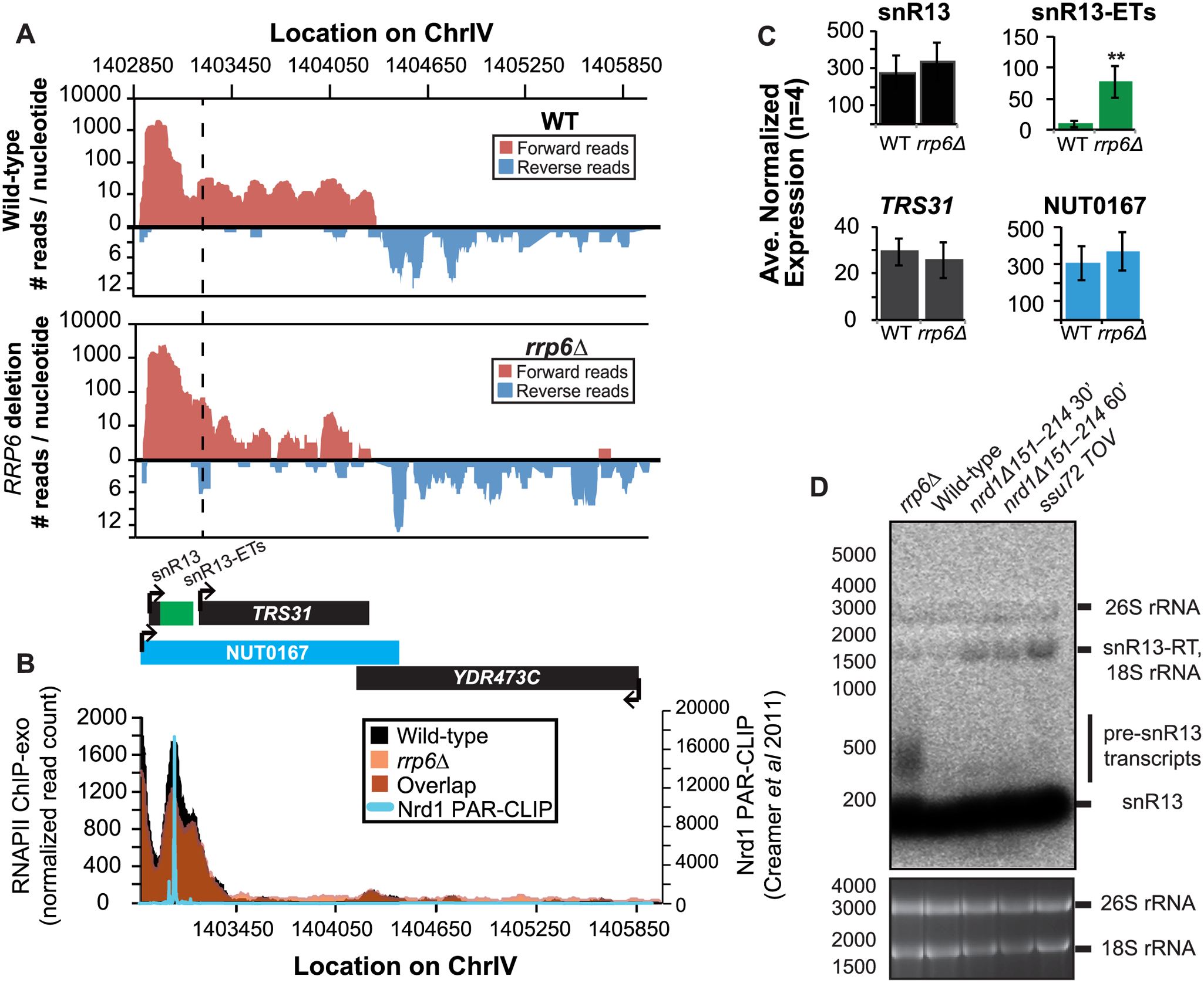 Termination of the C/D box small nucleolar RNA snR13 transcript does not require Rrp6.