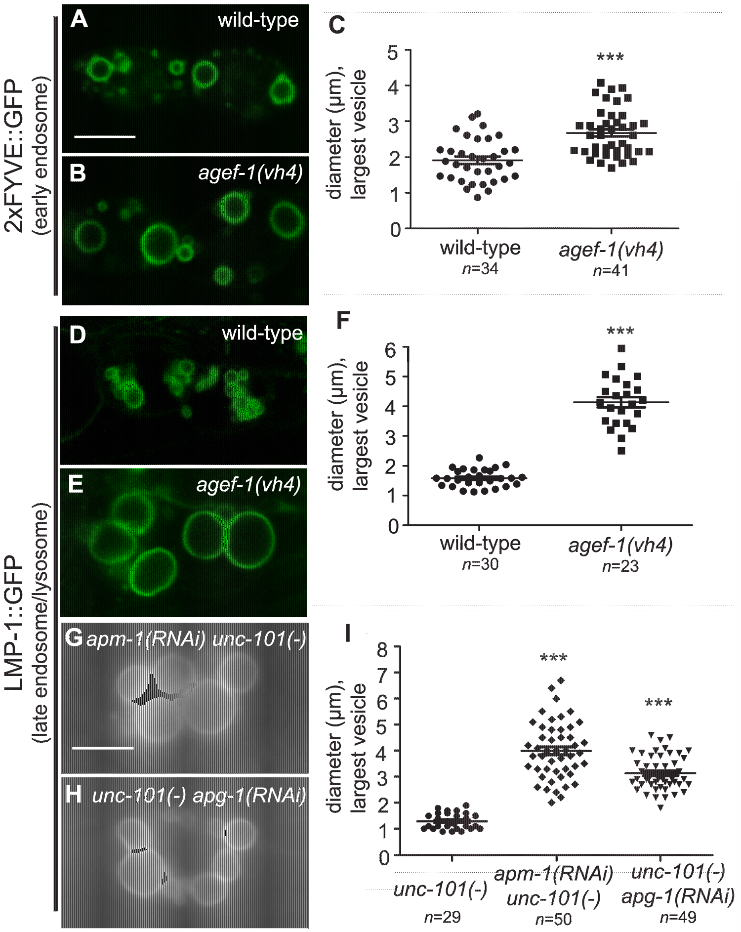 AGEF-1 and the AP-1 complex regulate the size of late endosomes/lysosomes in coelomocytes.