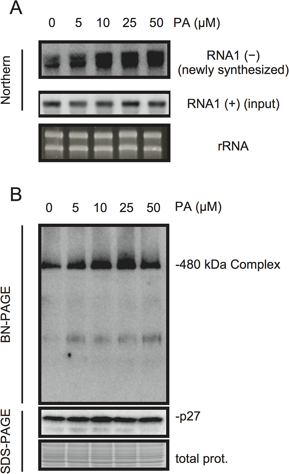 PA enhances accumulation of negative-strand RNA1 and the 480-kDa replicase complex in BYL.