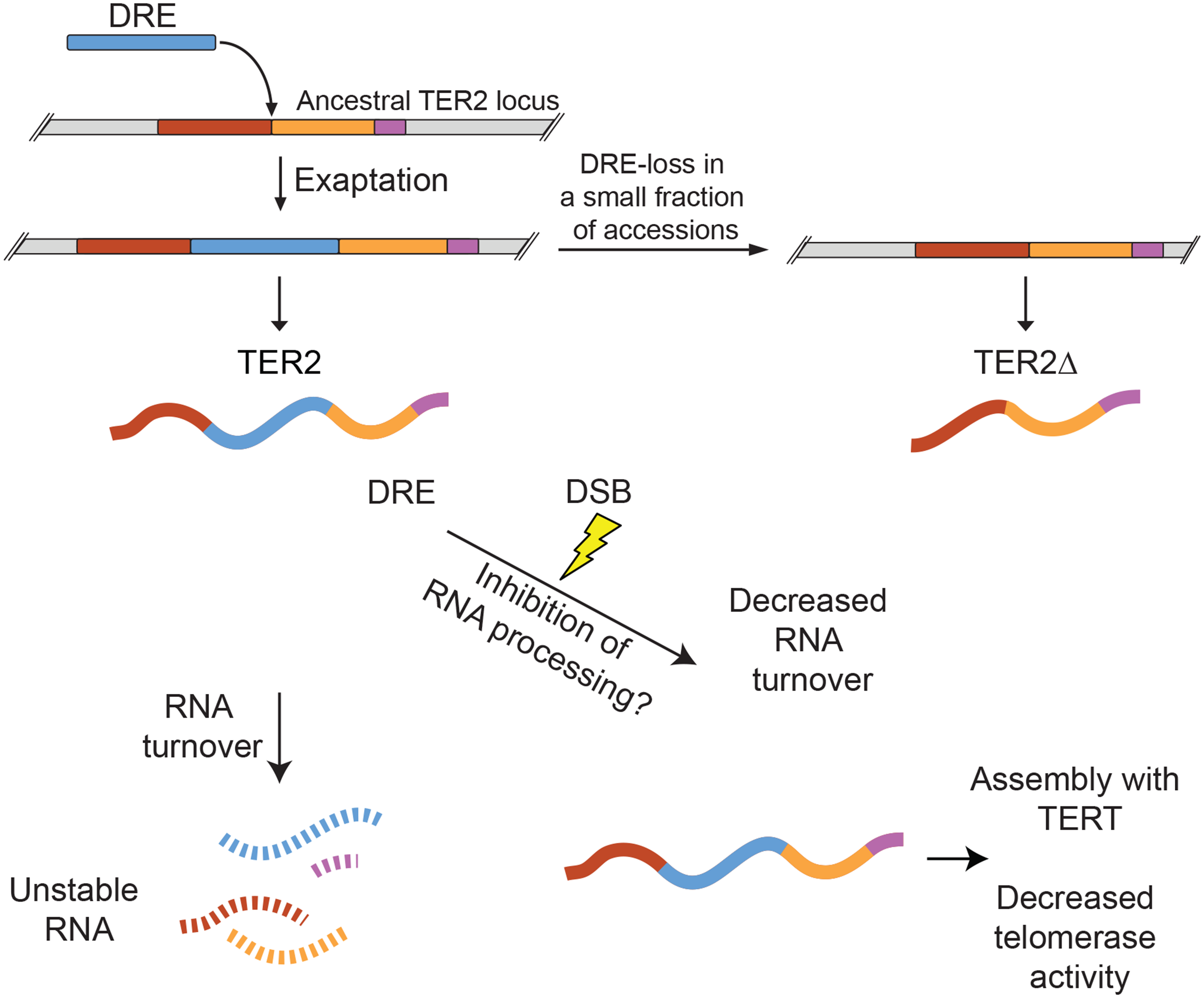 Model for exaptation of a TE into TER2 and the emergence of a telomerase regulatory lncRNA.