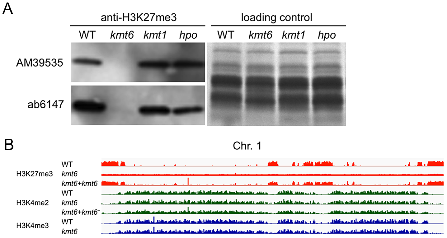 The <i>kmt6</i> mutant lacks H3K27me3.