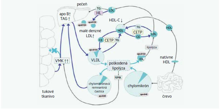 Schéma 2. Mechanizmus vzniku aterogénnej dyslipidémie [17]