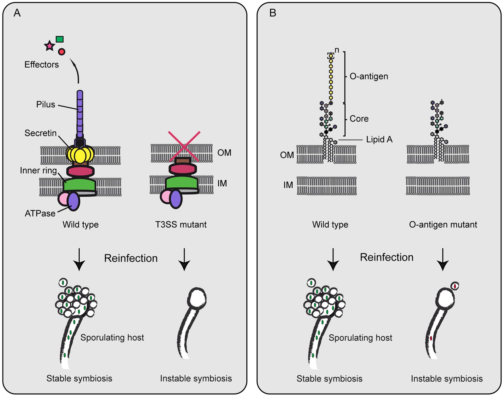Symbiosis factors of <i>B. rhizoxinica</i>.