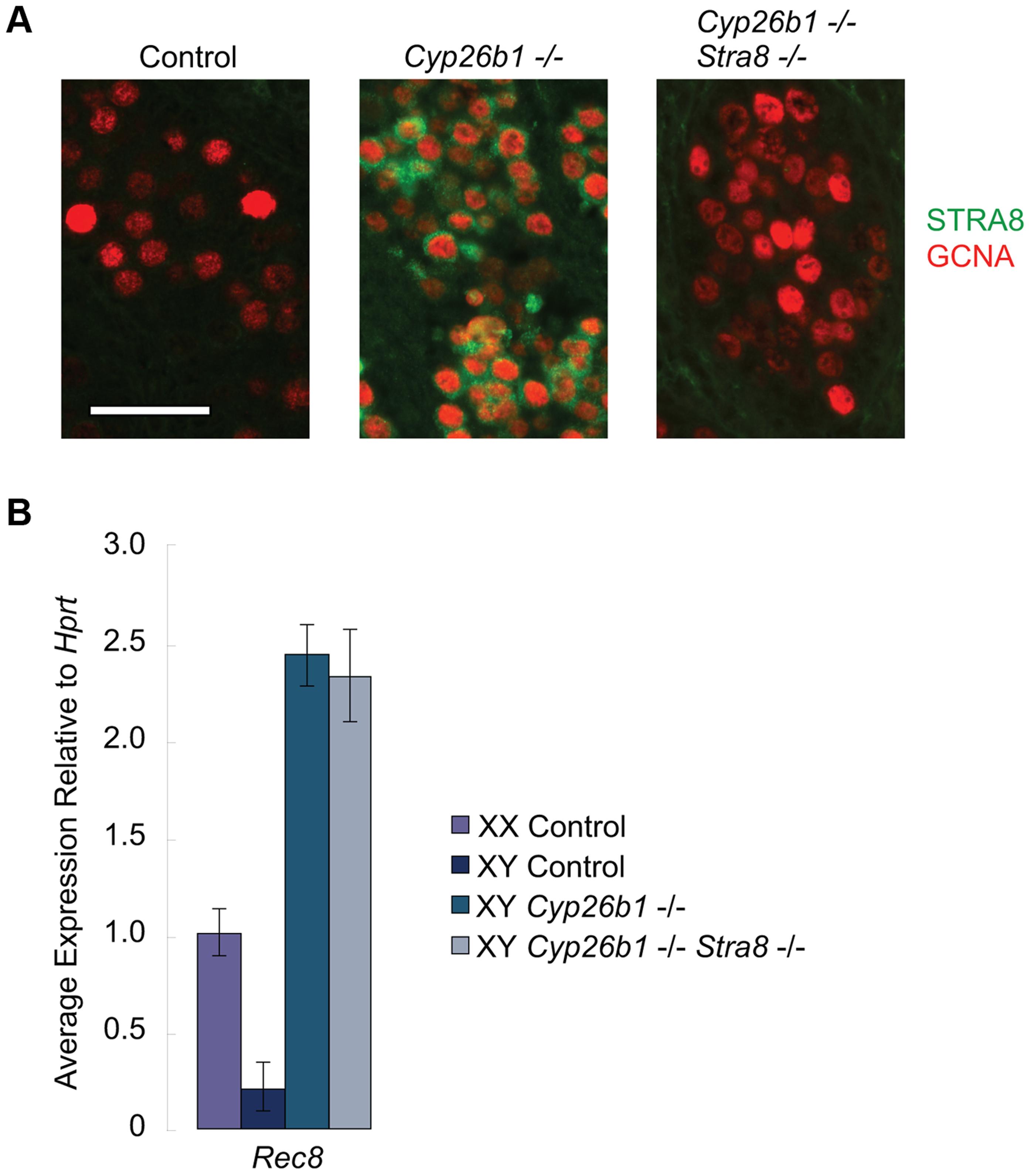 In <i>Cyp26b1-</i>deficient/<i>Stra8-</i>deficient fetal testes, <i>Rec8</i> is induced by RA signaling.