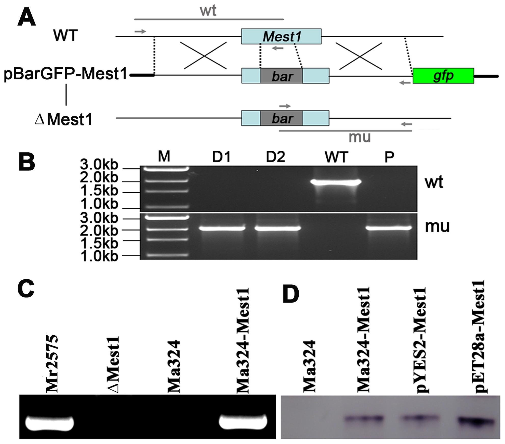 Disruption of the <i>Mest1</i> gene in <i>Metarhizium robertsii</i> Mr2575.
