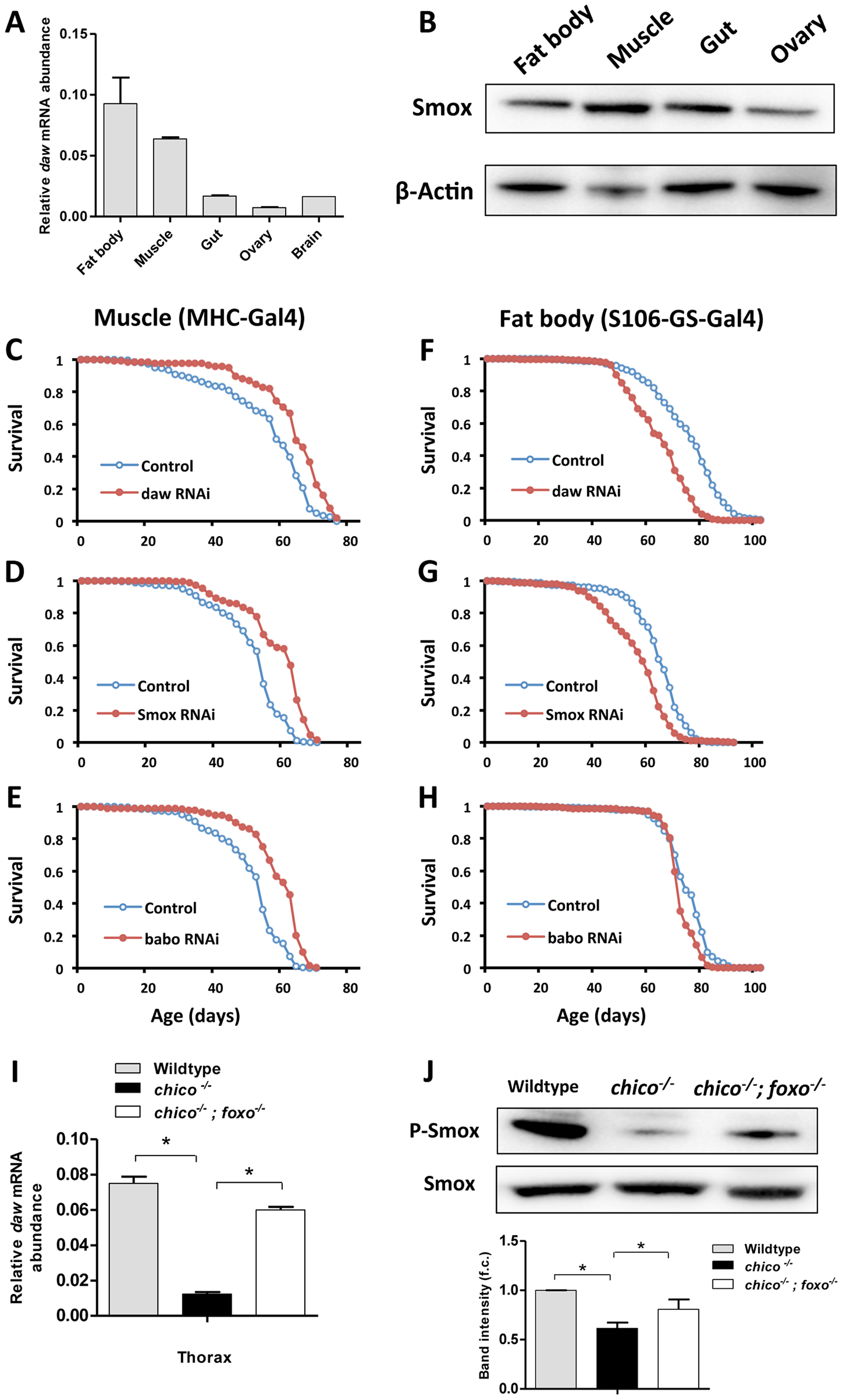 Inactivation of genes in Activin signaling (<i>daw</i>, <i>Smox</i> and <i>babo</i>) in muscle, but not in fat body extended lifespan.
