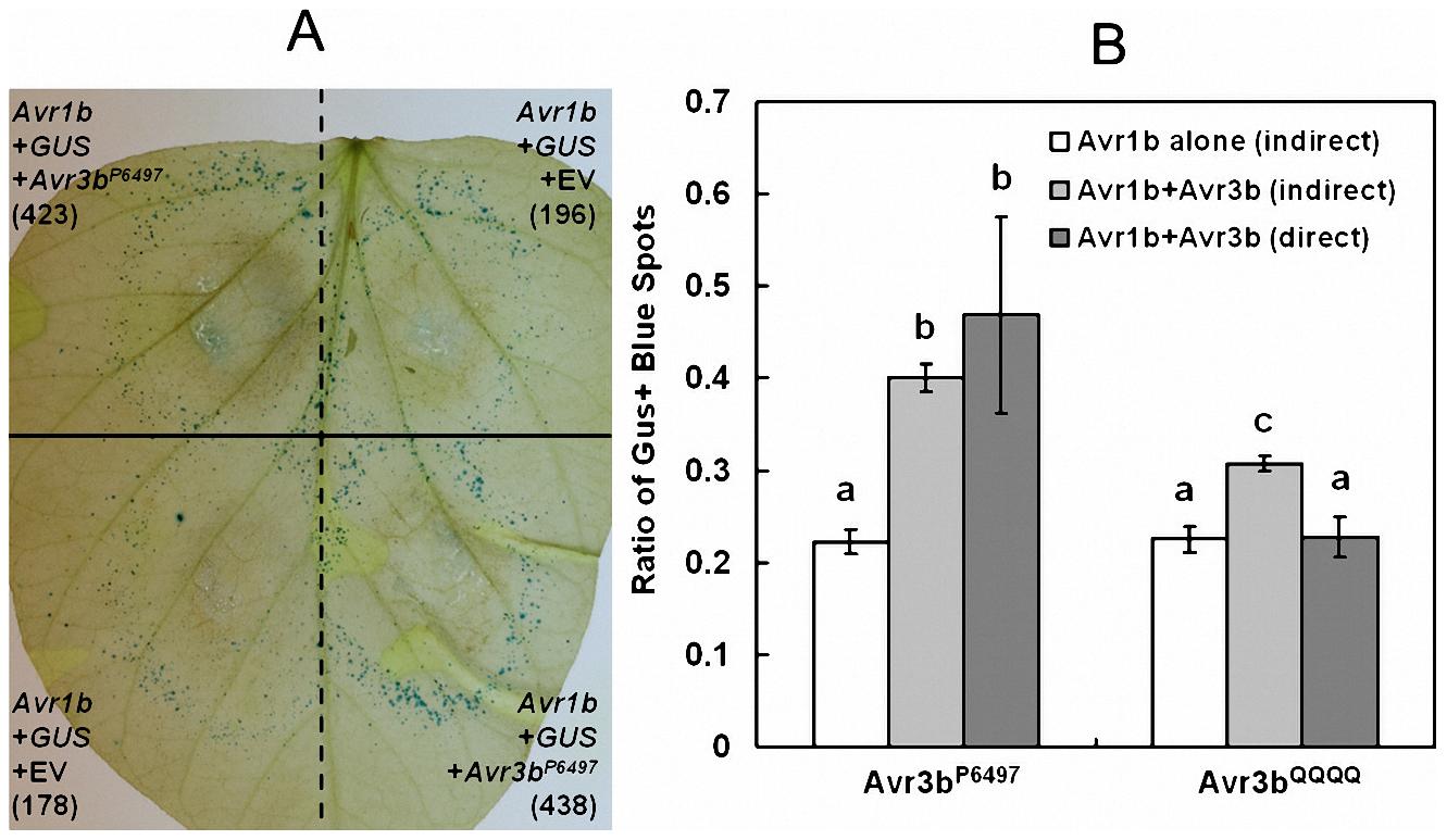 Avr3b suppresses ETI triggered by <i>P. sojae</i> effector Avr1b.