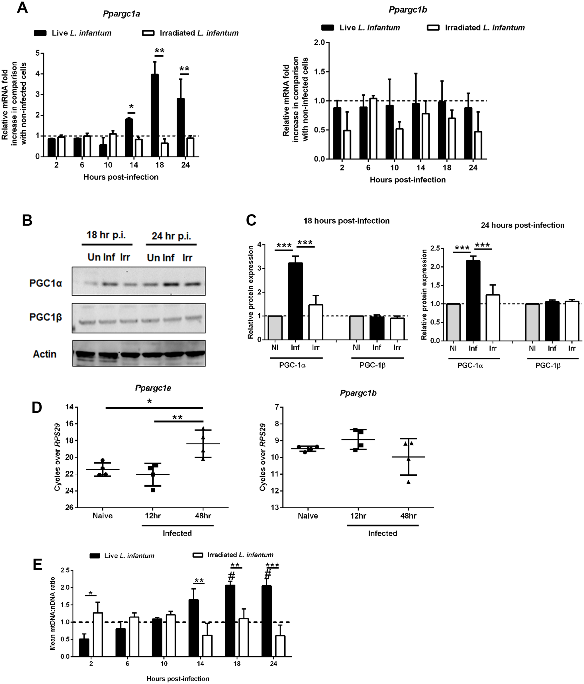 Alteration of host mitochondrial biogenesis by <i>L. infantum</i> infection.