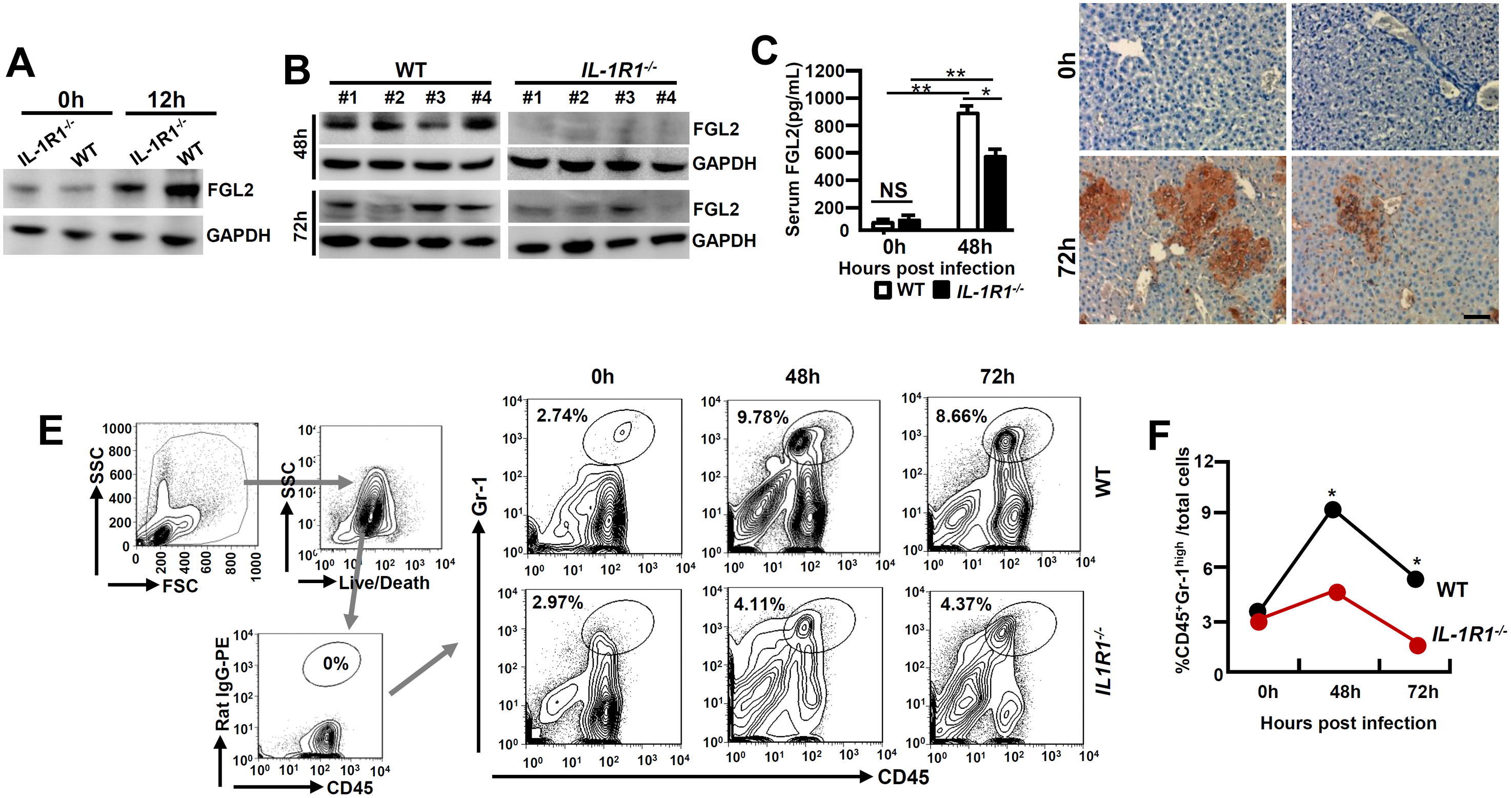MHV-3 fails to induce FGL2 production and neutrophil infiltration in the livers of <i>IL-1R1</i><sup><i>-/-</i></sup> mice.