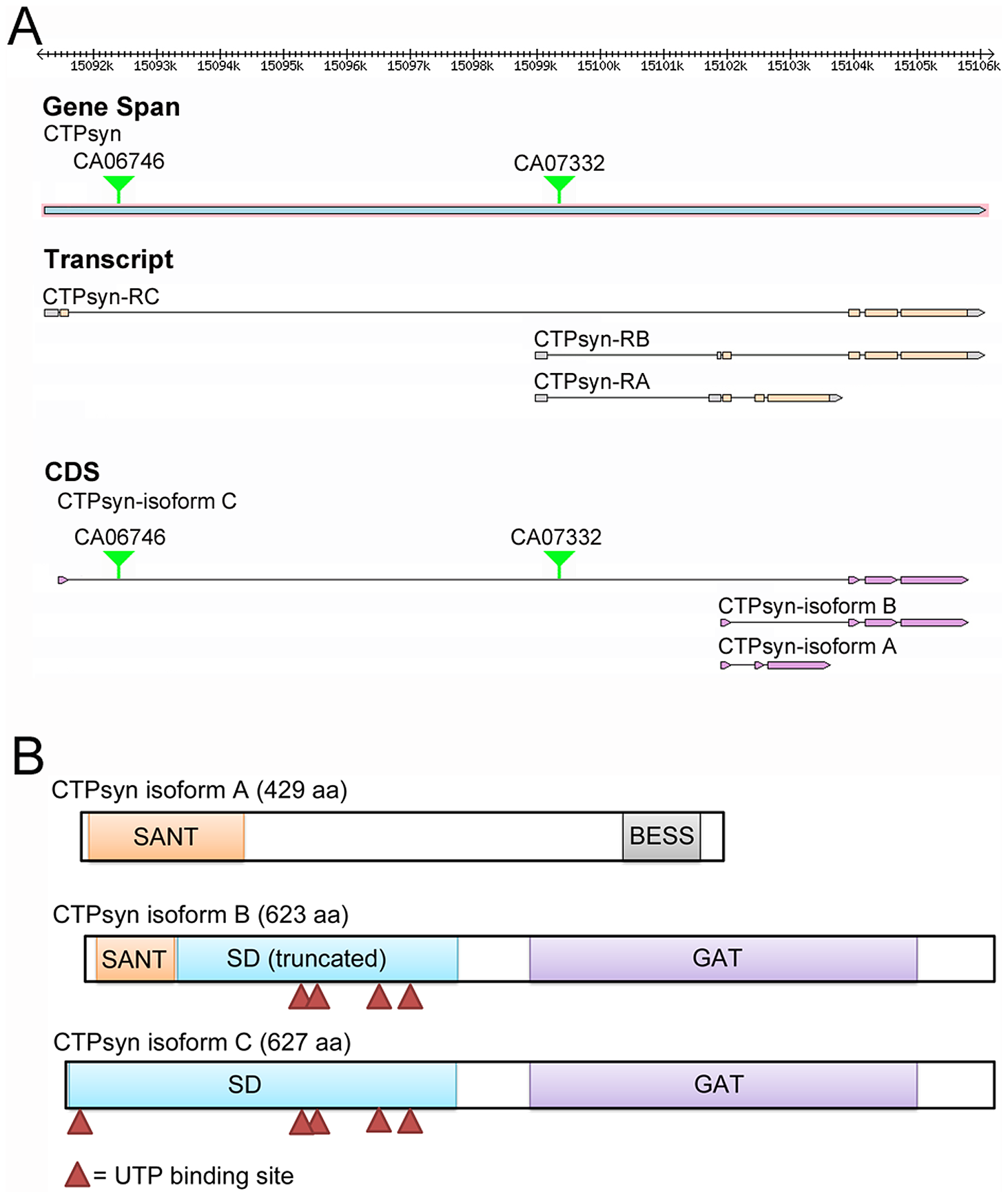 The <i>Drosophila melanogaster</i> CG6854/CTPsyn gene locus encodes three isoforms.
