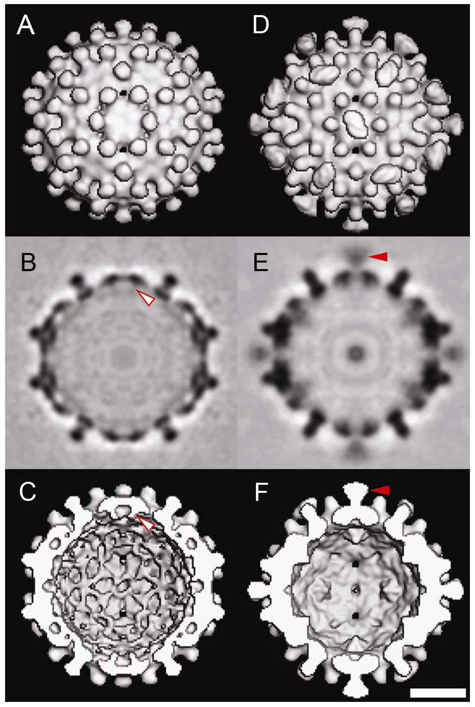 Three-dimensional structures of Cp183 Capsid and Cp183 Capsid/SRPKΔ.