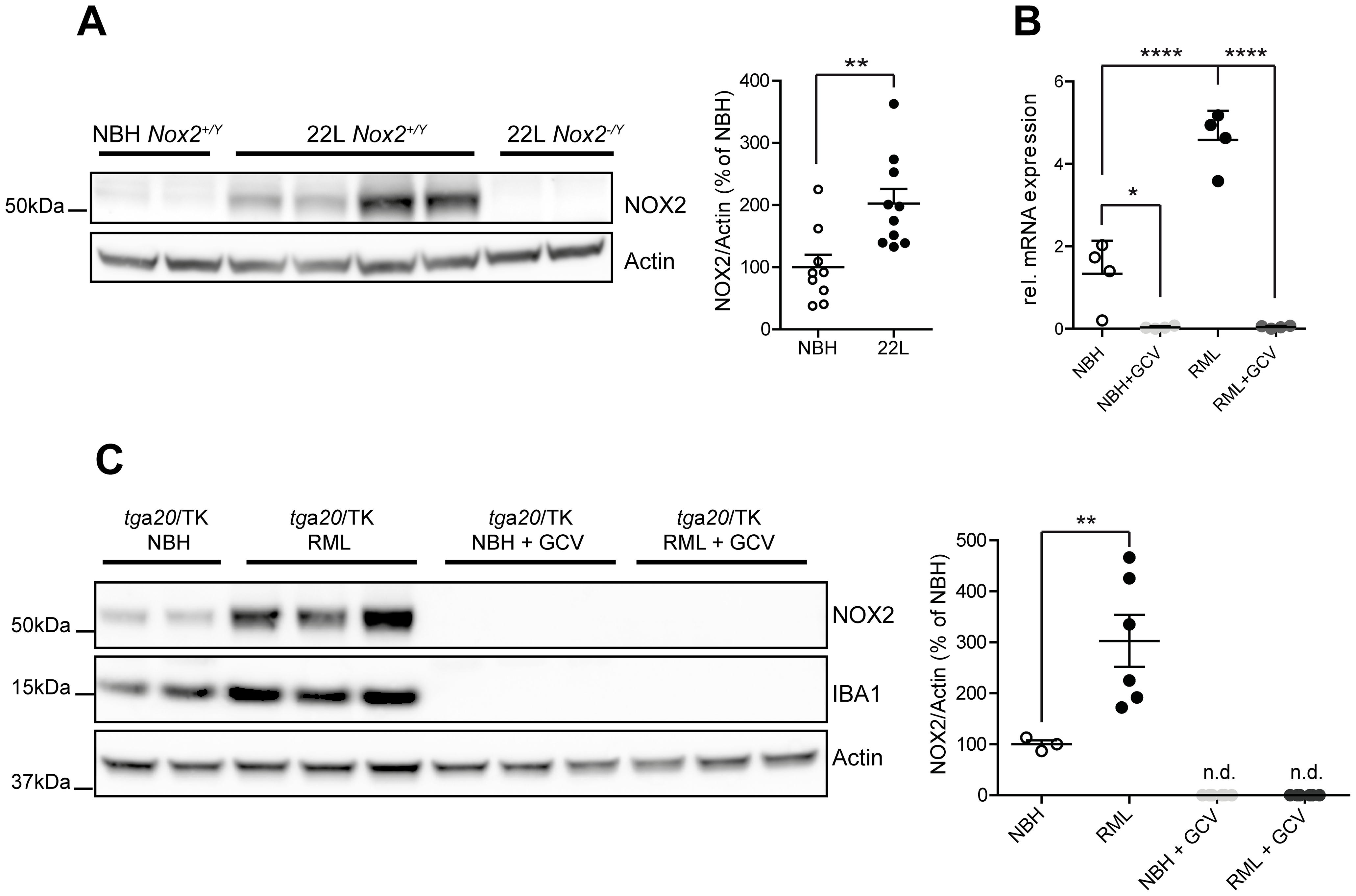 Analysis of NOX2 expression and cellular localization in mice.