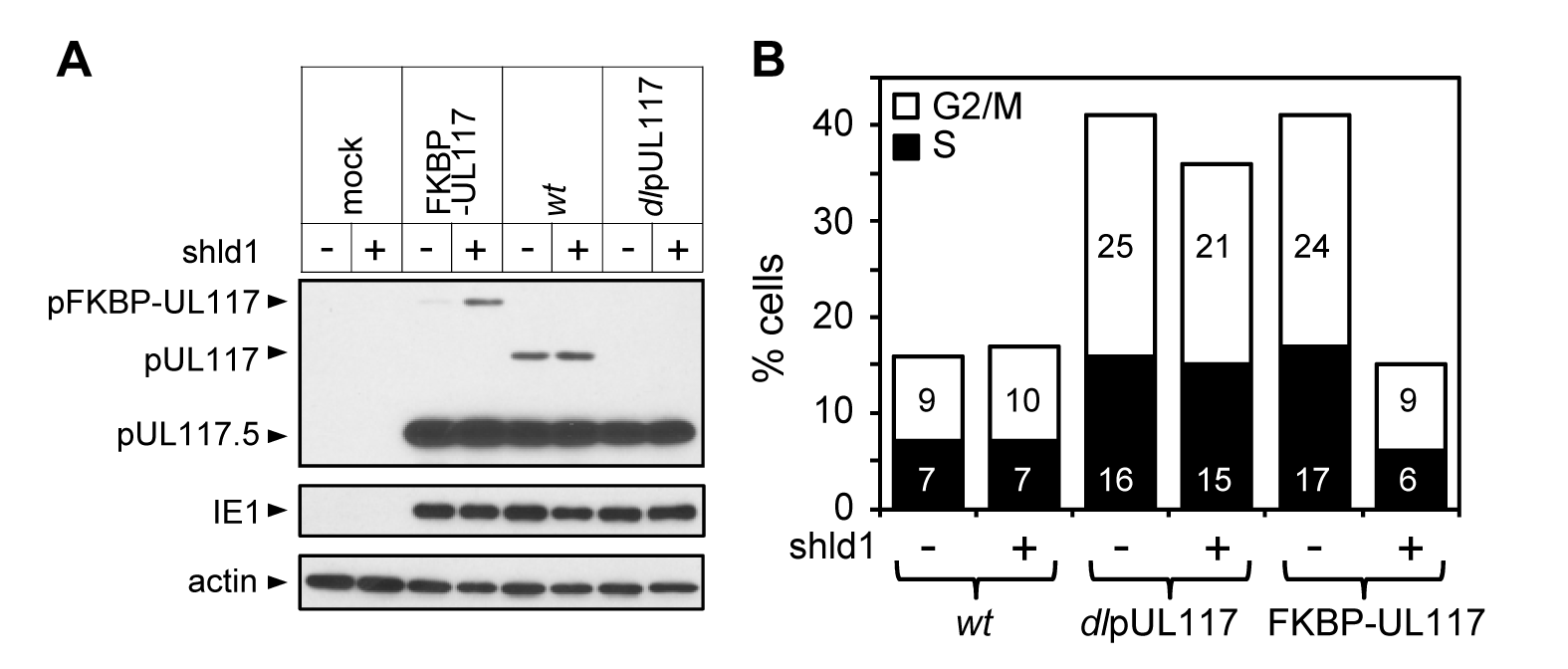 Lack of newly synthesized pUL117 was directly responsible for the failure of pUL117-deficient virus to block host DNA synthesis.