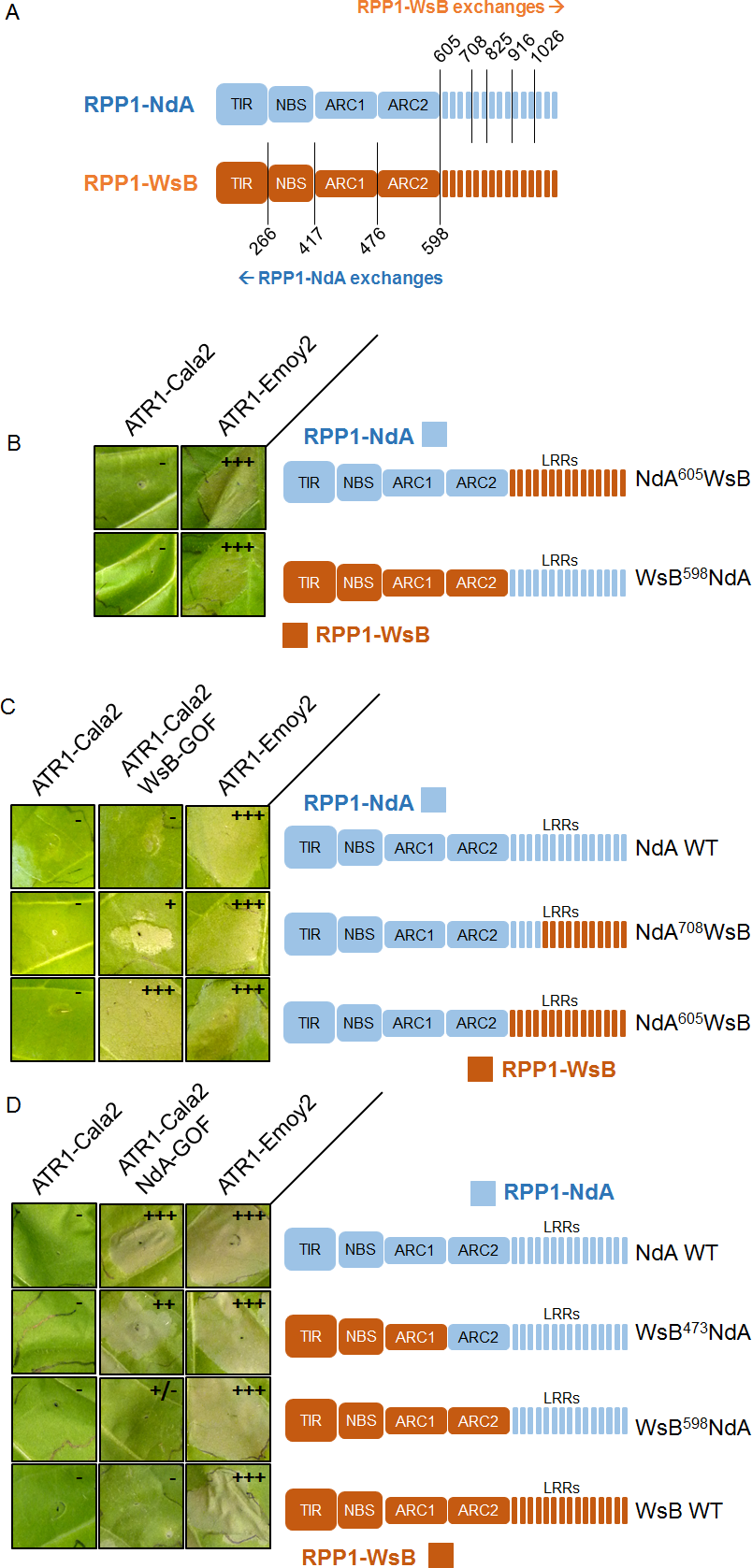 Chimeric RPP1 constructs implicate LRRs and ARC2 domains in specificity.