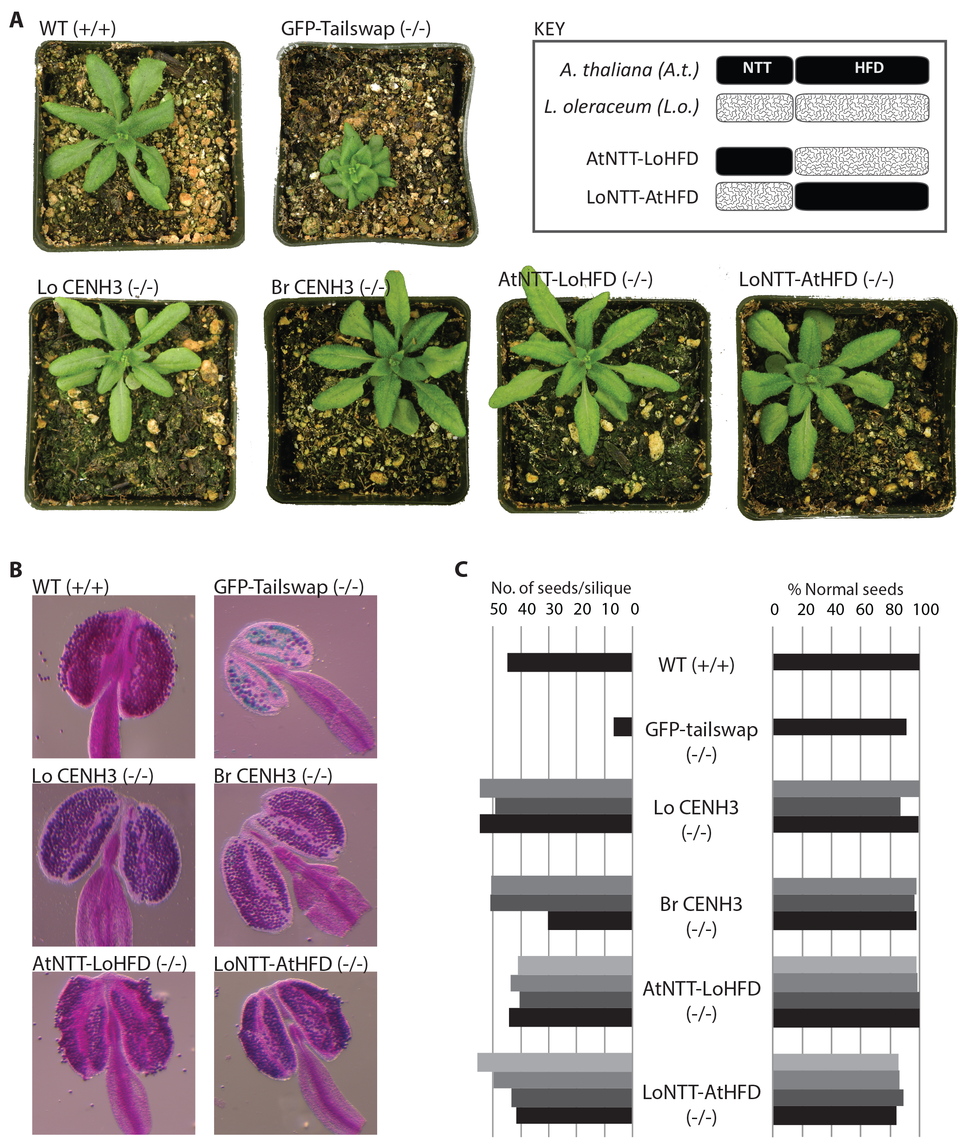Vegetative and reproductive phenotypes of CENH3 complemented lines.