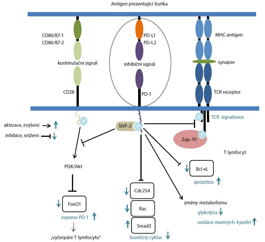Molekulární mechanizmus PD-1/PD-L1 signalizace. Upraveno podle [34].