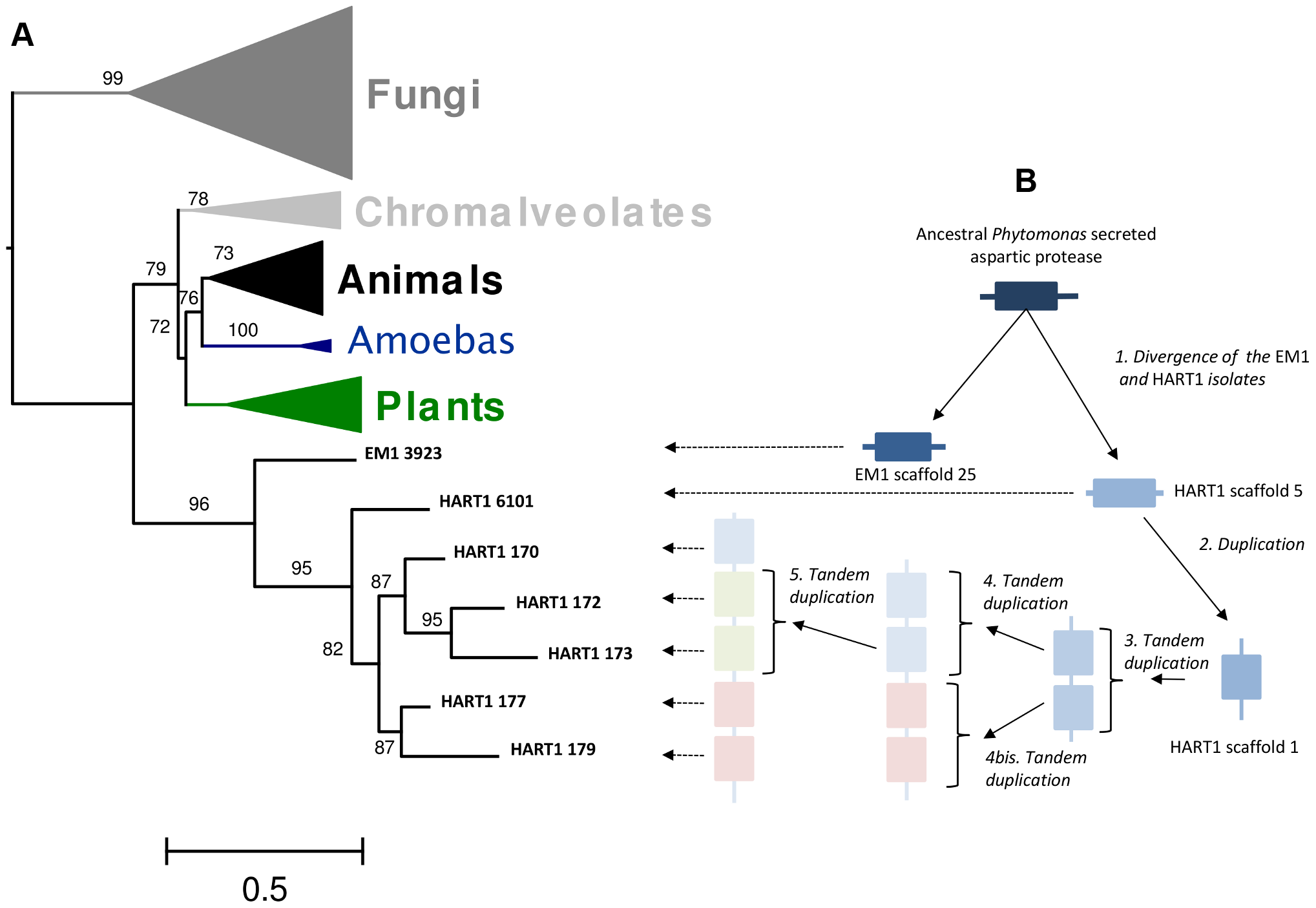 Duplication of ancestral <i>Phytomonas</i> secreted aspartyl protease sequences and maximum-likelyhood plylogenetic tree of aspartyl proteases.