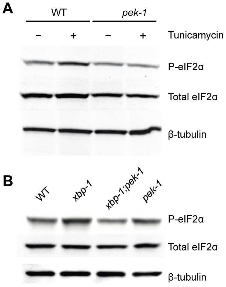 XBP-1 deficiency increases PEK-1 dependent phosphorylation of eIF2α.